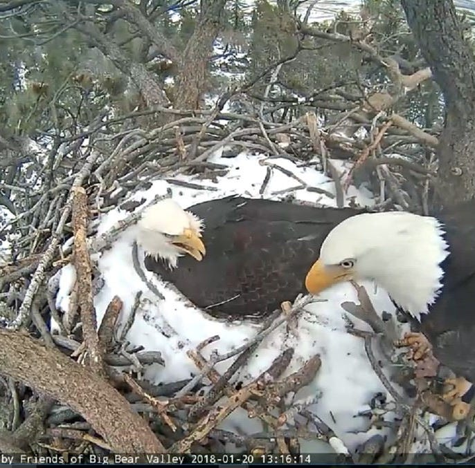 Bald eagles mated on camera in Big Bear Lake and now they have an egg