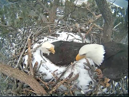 This file photo shows webcam footage of two bald eagles near Big Bear Lake. The eagles mated and eggs were laid on March 6 and March 9.
