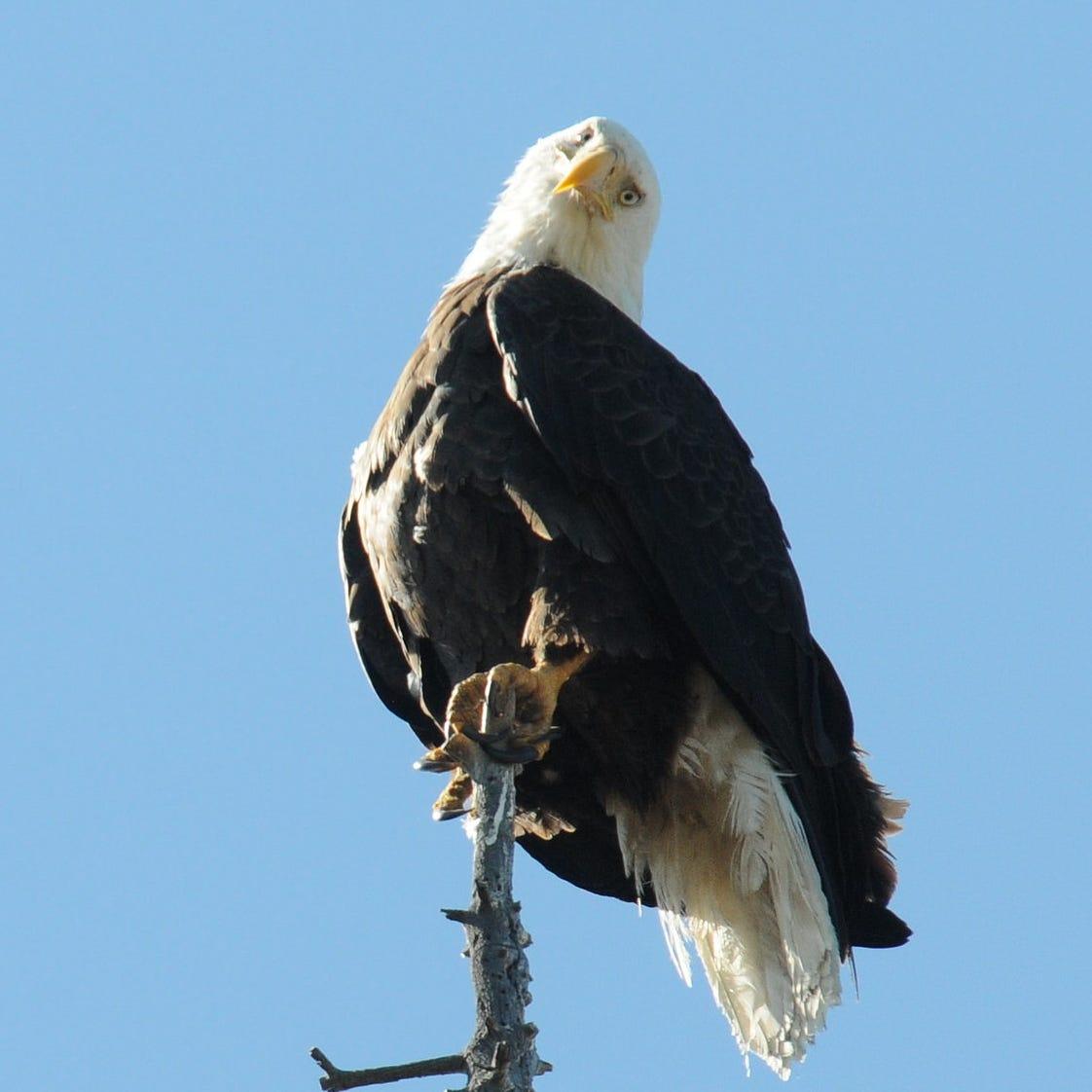 Bald eagles caught mating on camera in Big Bear, California