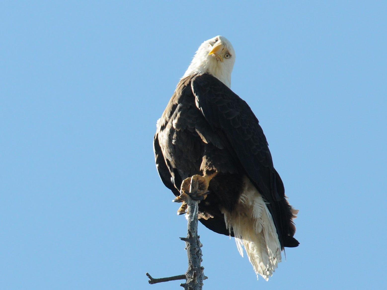 A bald eagle perched atop a tree in Fawskin, Calif., on April 26, 2018. Photo by Robin Eliason.
