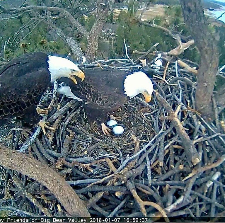 Big Bear bald eagles officially parents, one egg hatches and second is on the way