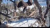 A live webcam in California's Big Bear Valley captured two bald eagles attempting to mate Thursday morning.