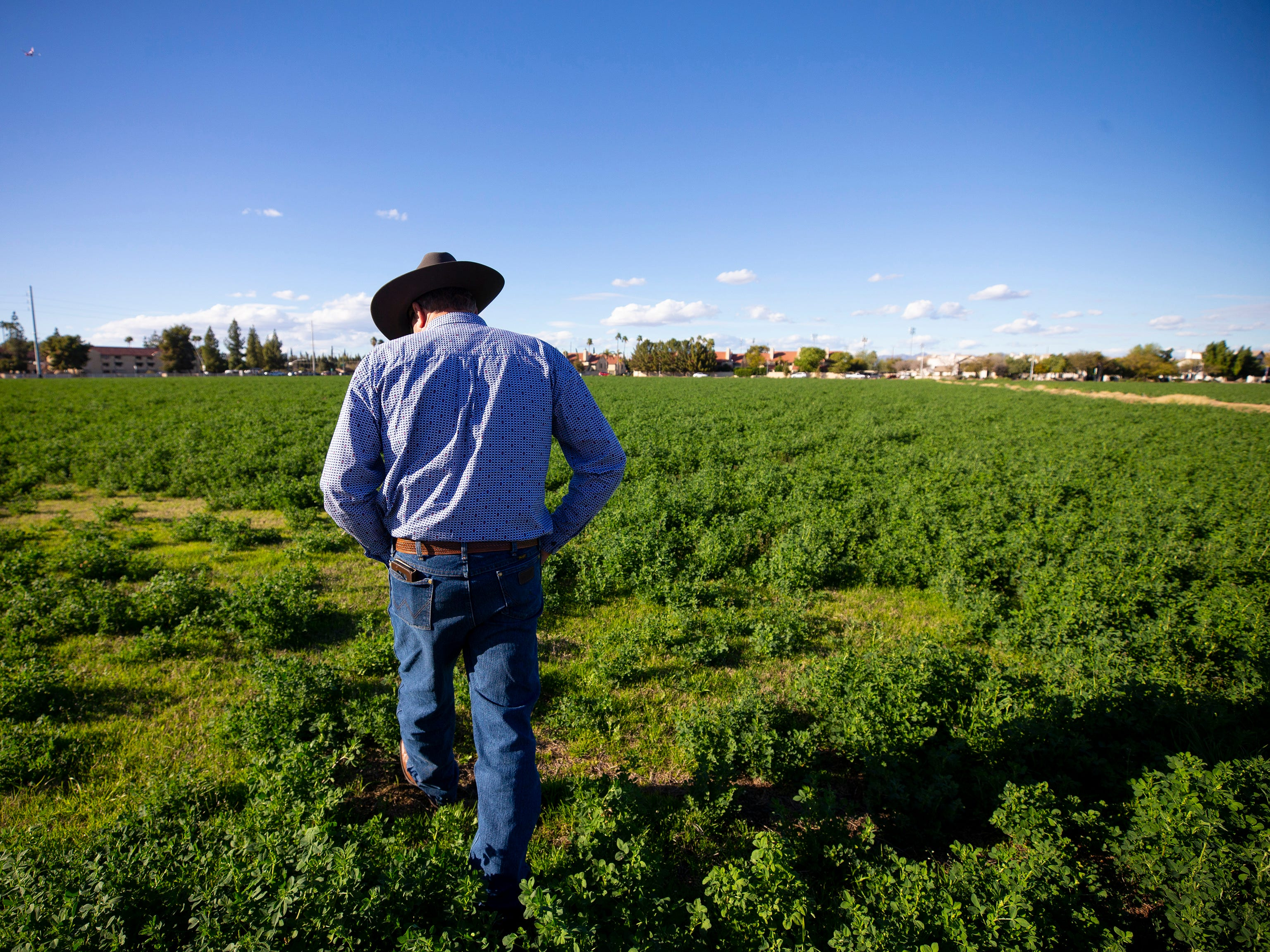 Mesa Vice Mayor Mark Freeman talks about urban farming while walking through his alfalfa crop at Freeman Farms in Mesa.