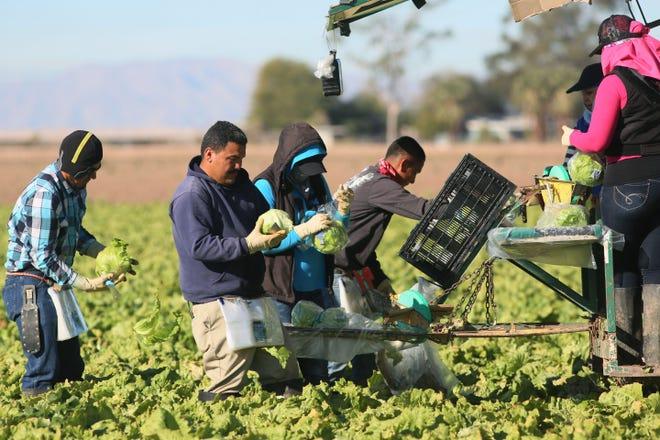 Trabajadores del campo cosechan lechugas en Brawley, California.