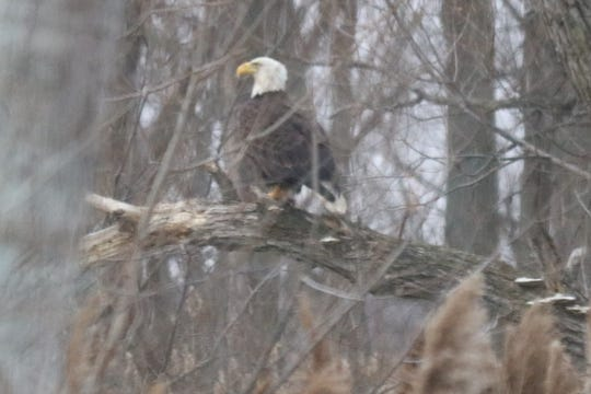 A bald eagle perched on a tree limb rests during a cold, windy morning at the Ottawa National Wildlife Refuge.