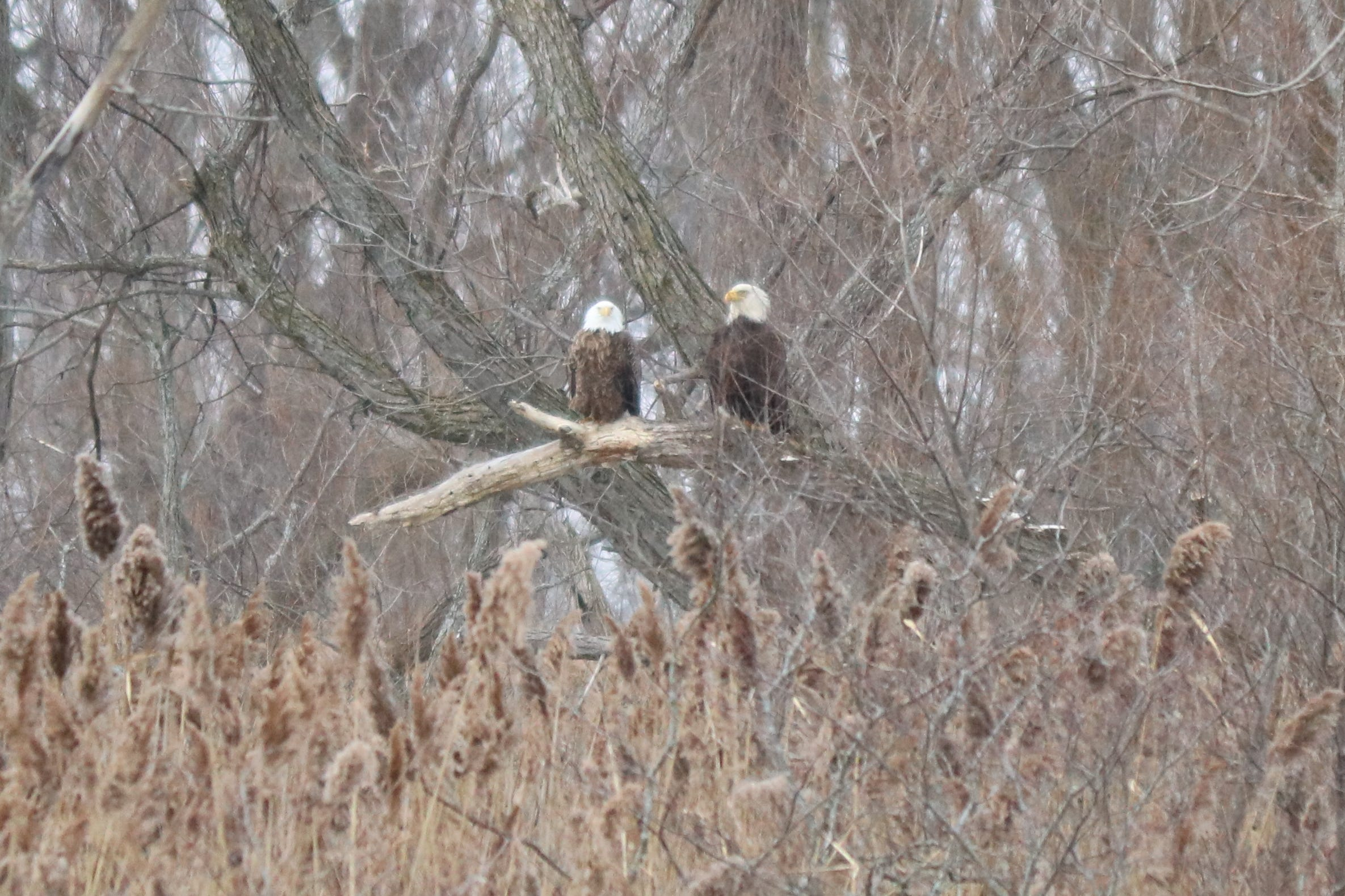 A pair of bald eagles perch on a tree limb on a cold, windy morning at the Ottawa National Wildlife Refuge.