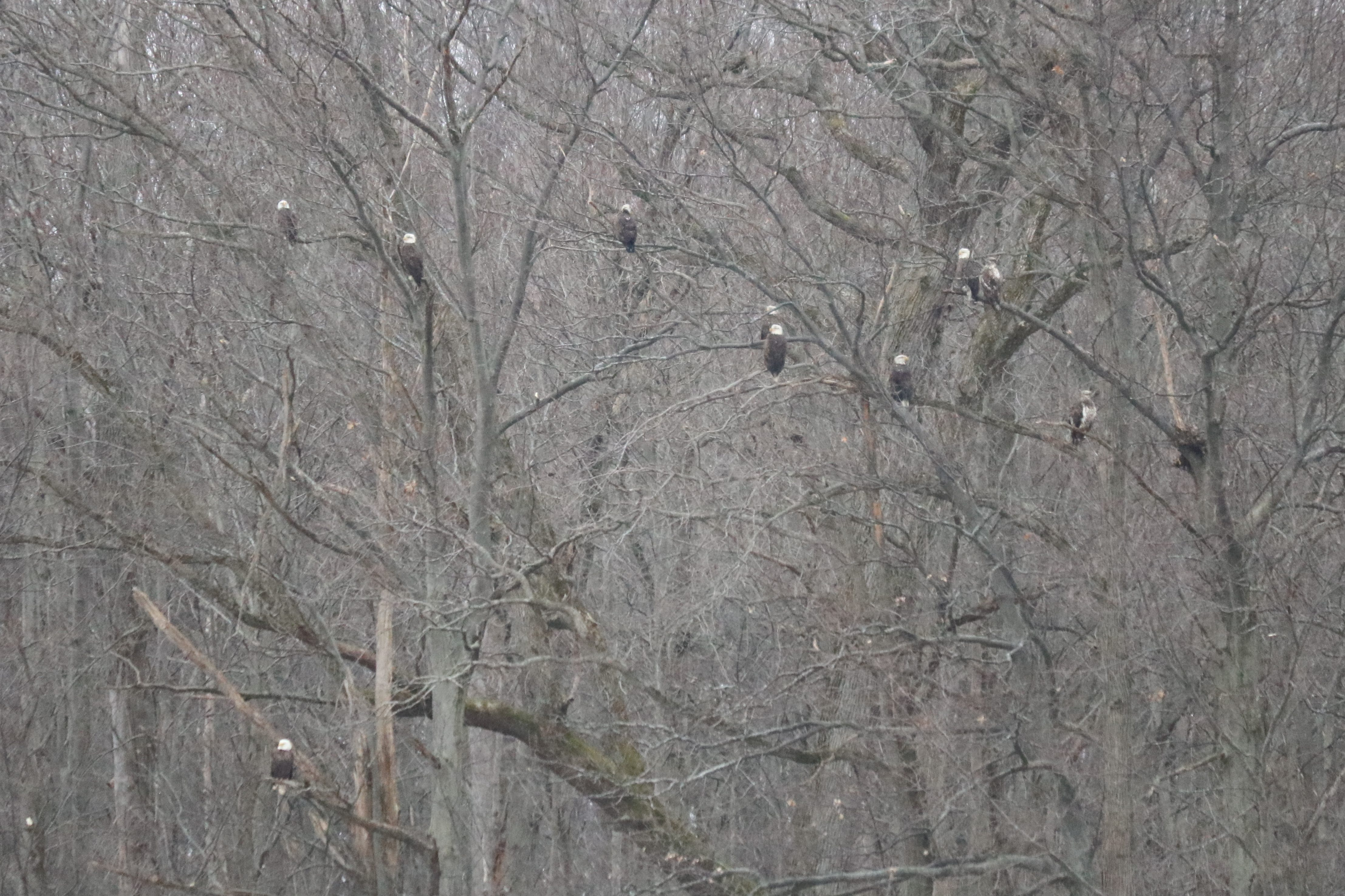Nearly a dozen bald eagles take a break from the wind on a bitterly cold morning at the Ottawa National Wildlife Refuge.