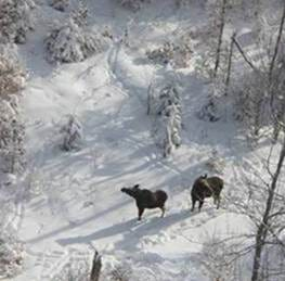 Check them out: Five aerial photos of moose in the Adirondacks