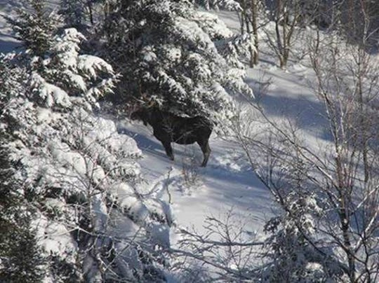 Moose were spotted in the Adirondacks during the DEC's annual survey in January 2019.