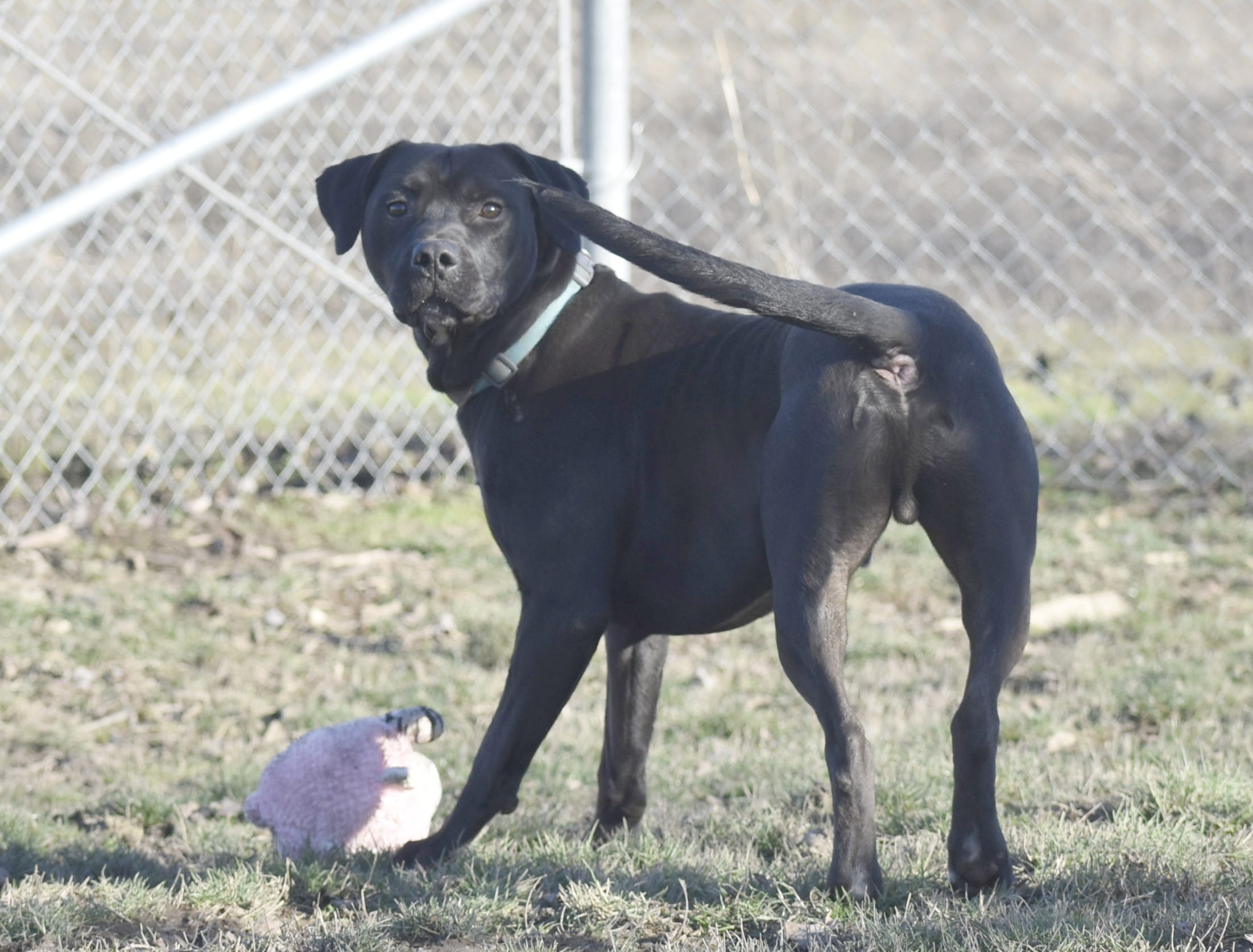 Ernie is a 2-year-old male black and white Labrador retriever mix. He is an enthusiastic, playful and fun lab mix who is in need of some training. Ernie loves toys, soccer balls and most other dogs. Contact Marion County Dog Services at 503-588-5366 or go to www.MCDogs.net.