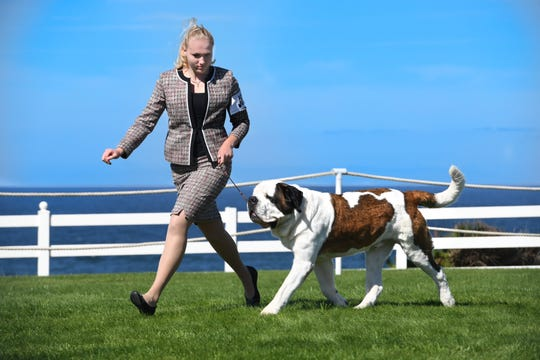 Mikala Seymour of Plainfield has been working with her Saint Bernard, Ellington, for three years.