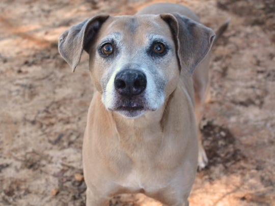Taco is an 8-year-old Black Mouth Cur mix .