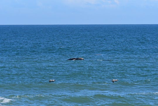 Sebastian Inlet State Park Ranger Ed Perry took this photograph of a right whale and her calf Feb. 5, 2019.