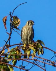 Delaware alphabet: K is for kestral. The country's smallest falcons, American kestrals have seen their population decline 90 percent in recent years.