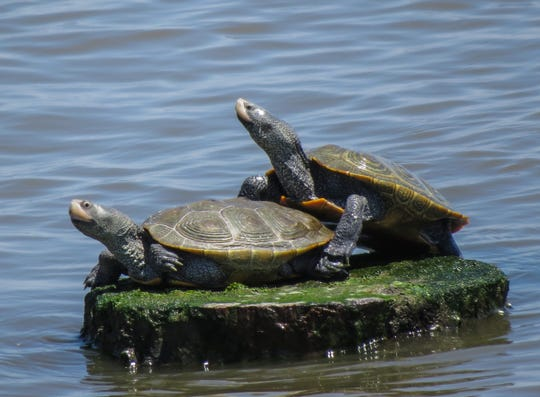 Delaware alphabet: T is for terrapin. The diamond-backed terrapin is common in Delaware waters.