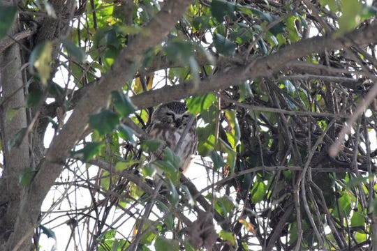 A saw-whet owl sits in a tree at the John Heinz National Wildlife Refuge at Tinicum near the Philadelphia International Airport.