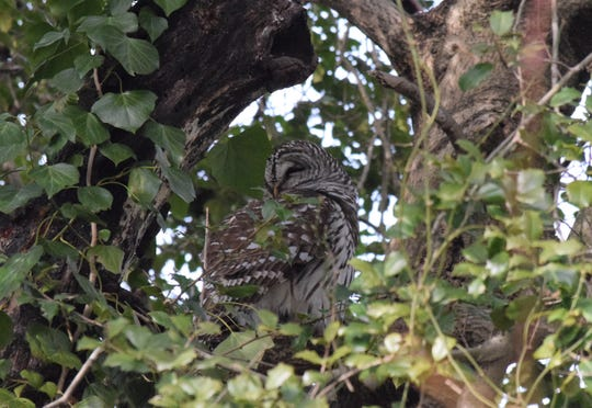 A barred owl sat comfortably in a tree at Brecknock County Park in Kent County.