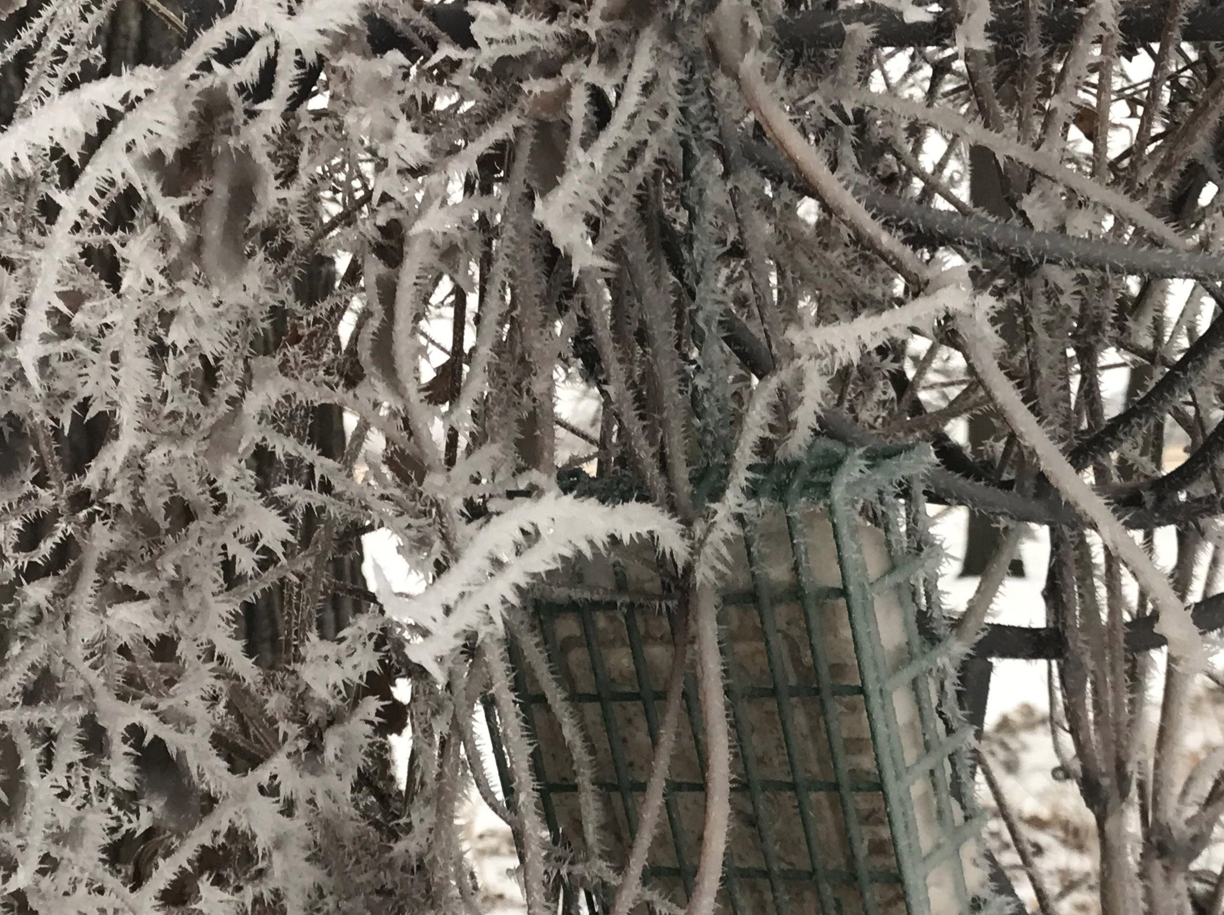 This suet feeder is hidden among the frosty vines of a clematis plant.
