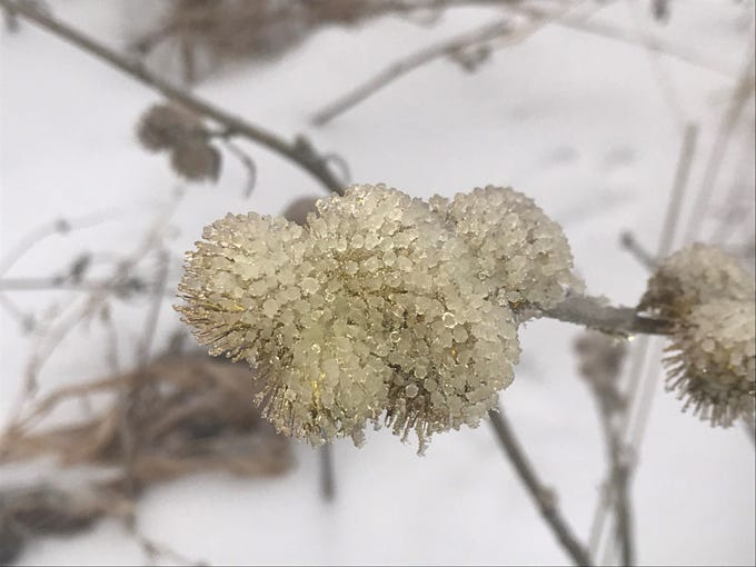 Ice-encrusted burdocks lend an air of beauty to these pesky burrs.