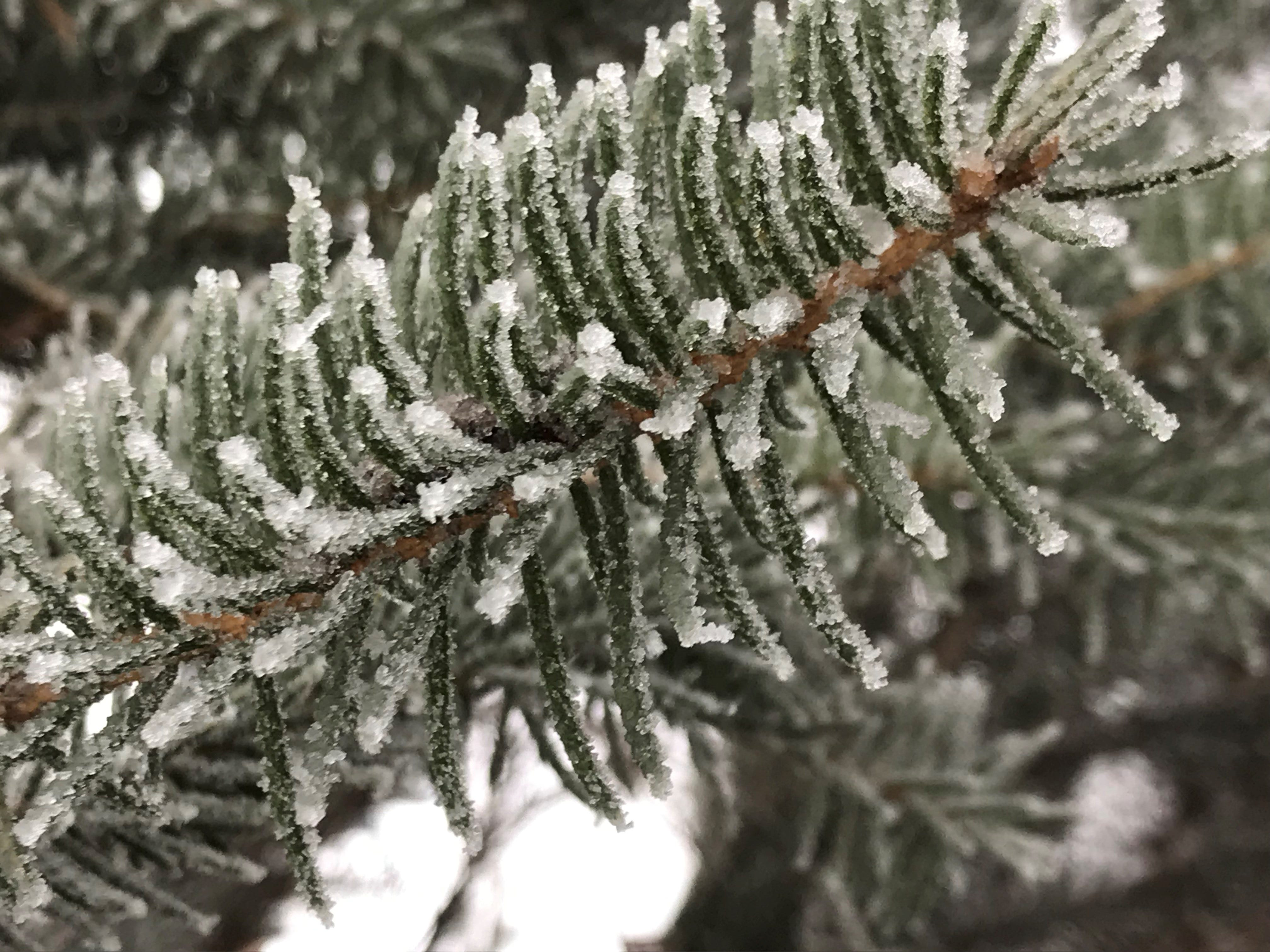 Frost serves as a natural flocking for evergreens.