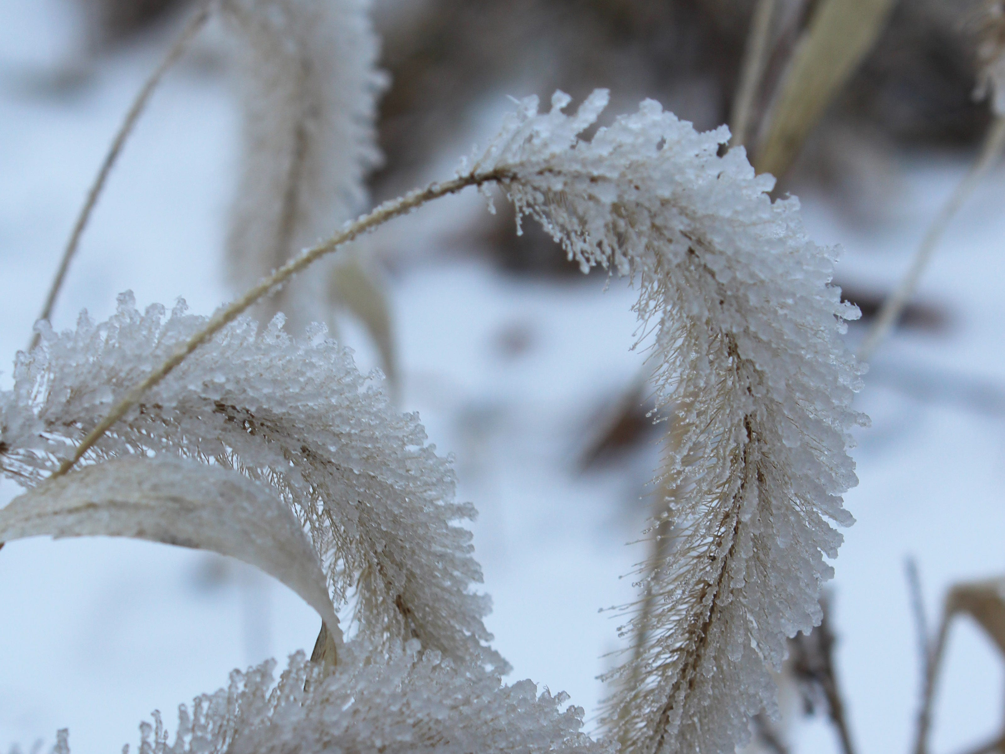 Foxtail grass encased in ice crystals.