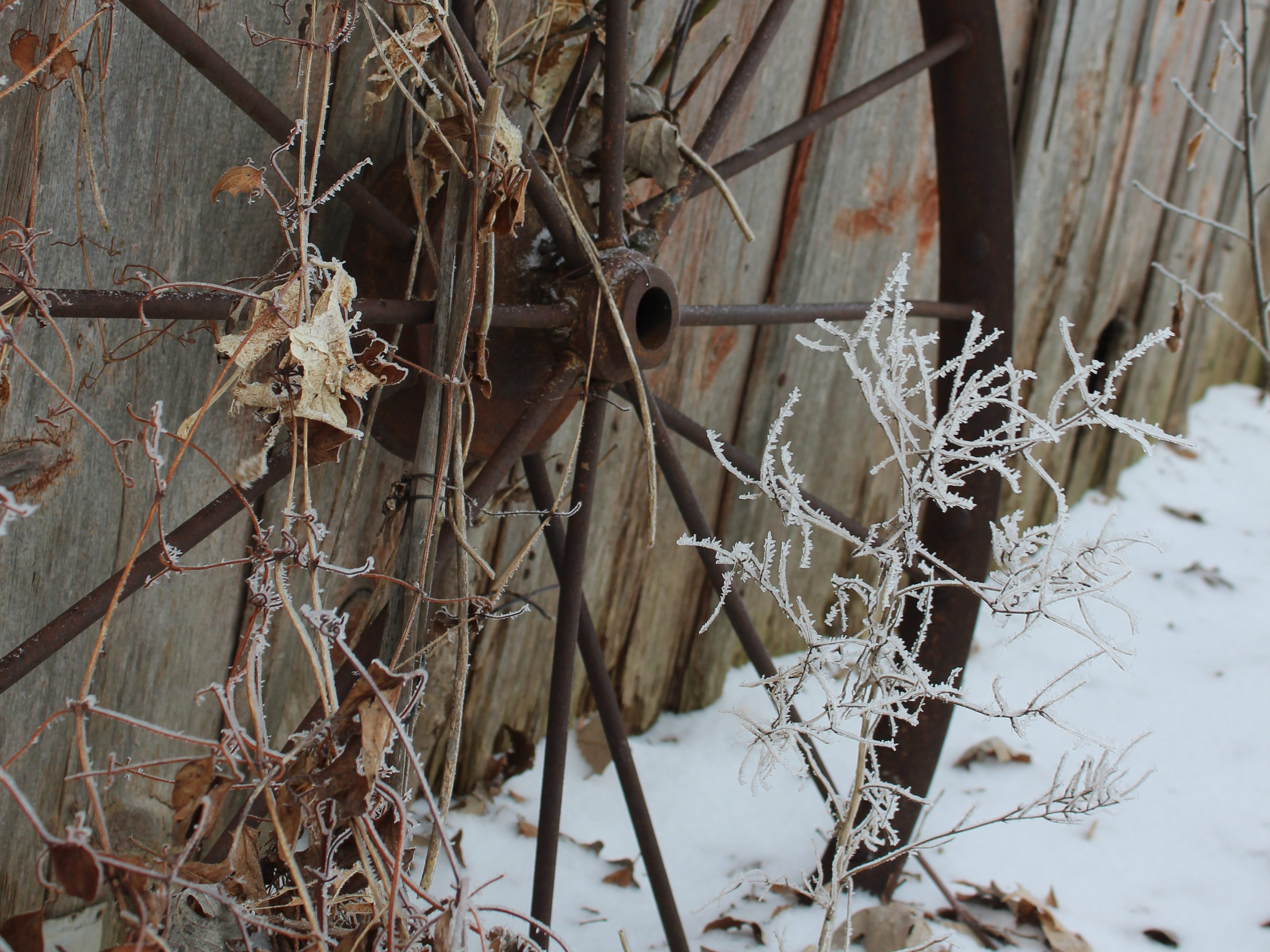 Dried honeysuckle vines and frost-covered plants decorate this old iron wheel.