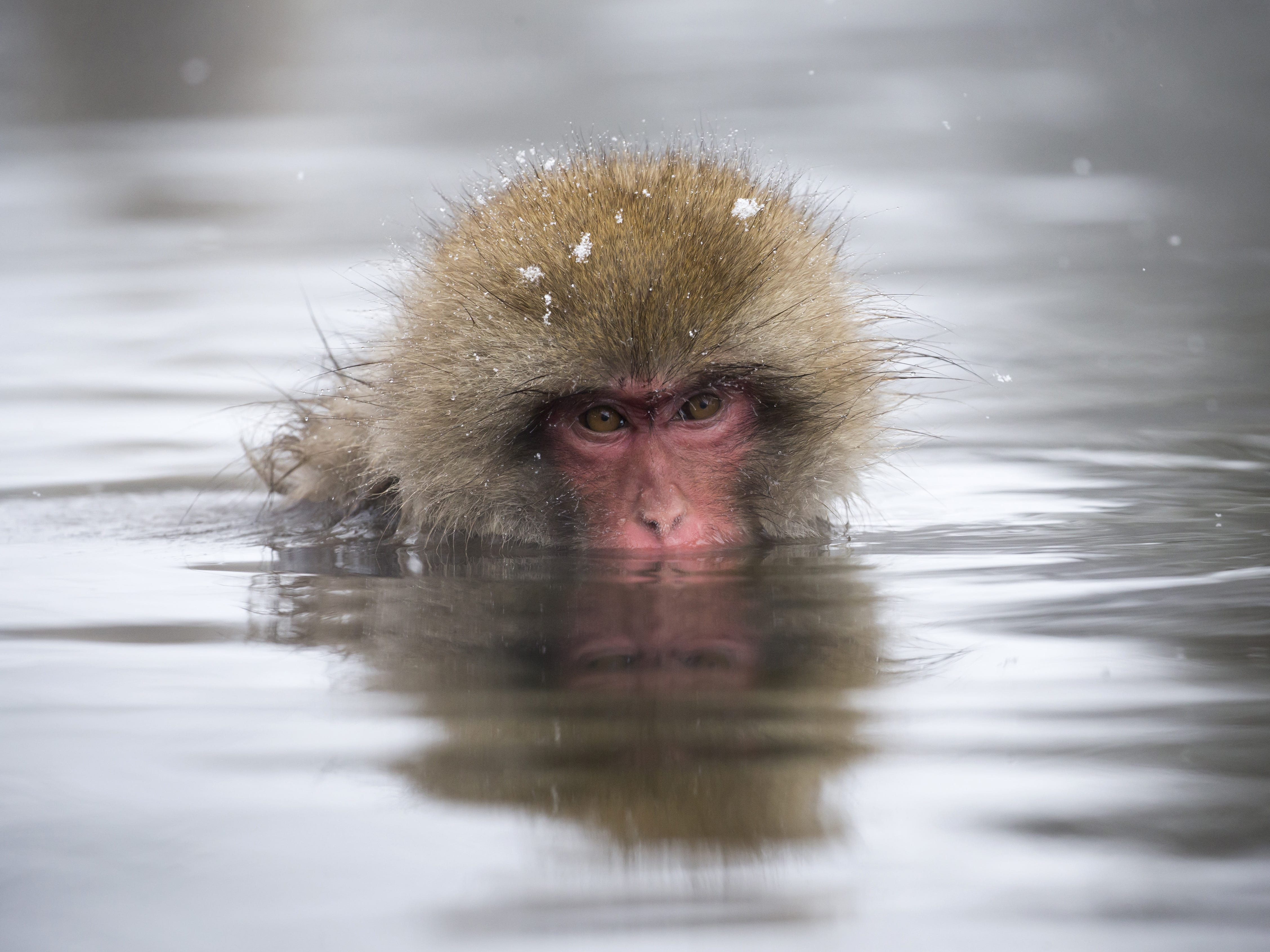 YAMANOUCHI, JAPAN - FEBRUARY 08: A Macaque monkey bathes in a hot spring at the Jigokudani Yaen-koen wild Macaque monkey park on February 8, 2019 in Yamanouchi, Japan. The wild Japanese macaques are known as snow monkeys, according to the park's official website. (Photo by Tomohiro Ohsumi/Getty Images) ORG XMIT: 775292339 ORIG FILE ID: 1128216150