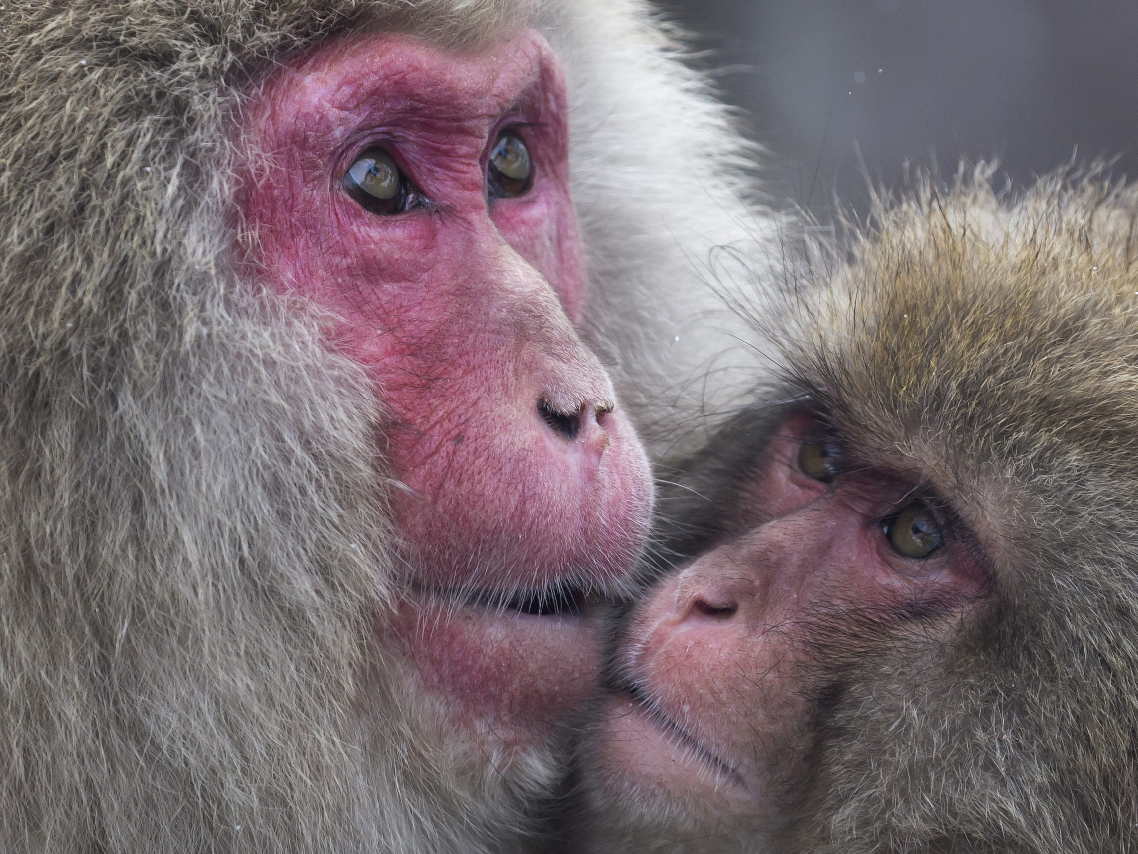 YAMANOUCHI, JAPAN - FEBRUARY 08: Macaque monkeys bathe in a hot spring at the Jigokudani Yaen-koen wild Macaque monkey park on February 8, 2019 in Yamanouchi, Japan. The wild Japanese macaques are known as snow monkeys, according to the park's official website. (Photo by Tomohiro Ohsumi/Getty Images) ORG XMIT: 775292339 ORIG FILE ID: 1128215952