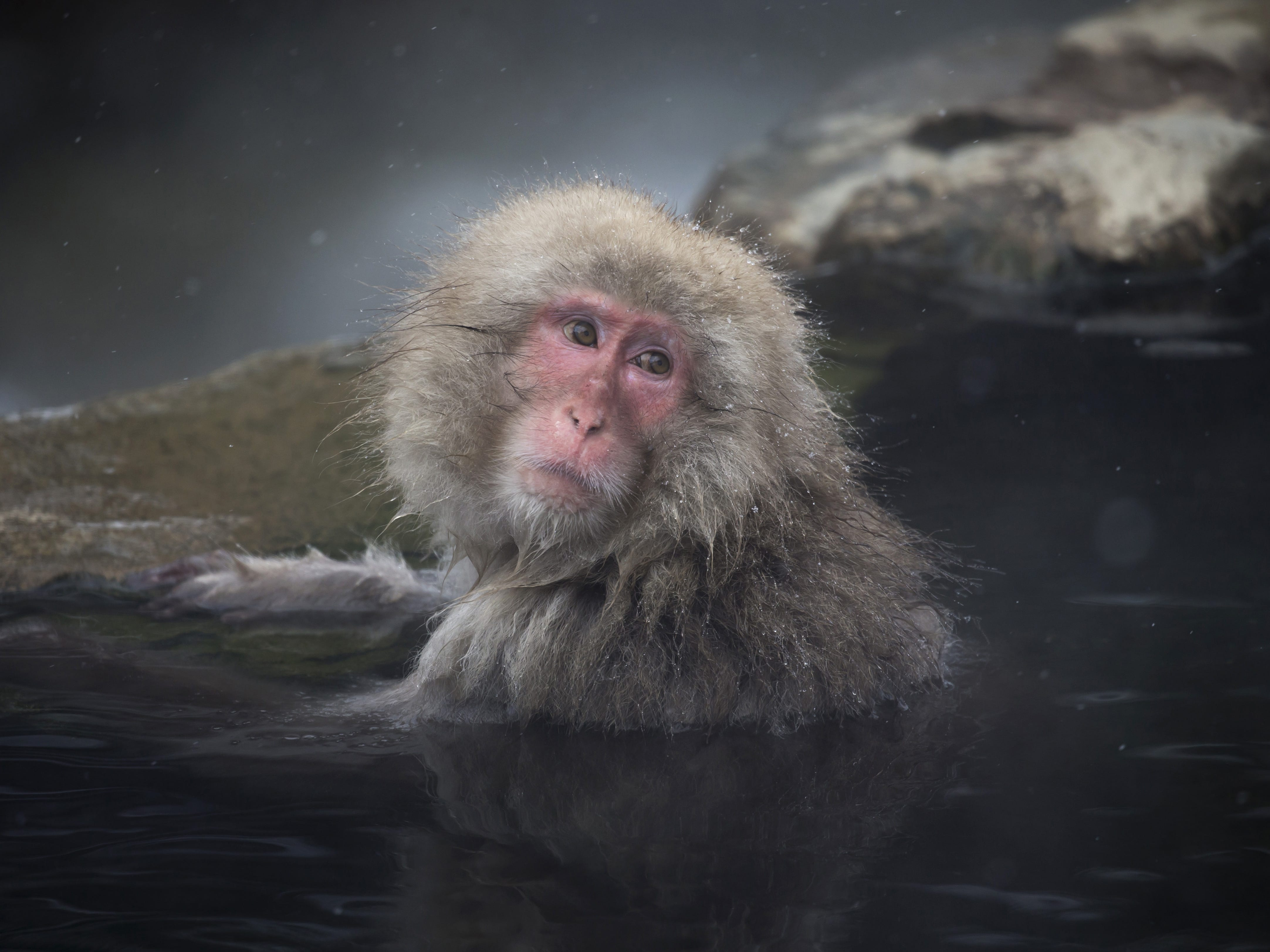 YAMANOUCHI, JAPAN - FEBRUARY 08: A Macaque monkey bathes in a hot spring at the Jigokudani Yaen-koen wild Macaque monkey park on February 8, 2019 in Yamanouchi, Japan. The wild Japanese macaques are known as snow monkeys, according to the park's official website. (Photo by Tomohiro Ohsumi/Getty Images) ORG XMIT: 775292339 ORIG FILE ID: 1128216197