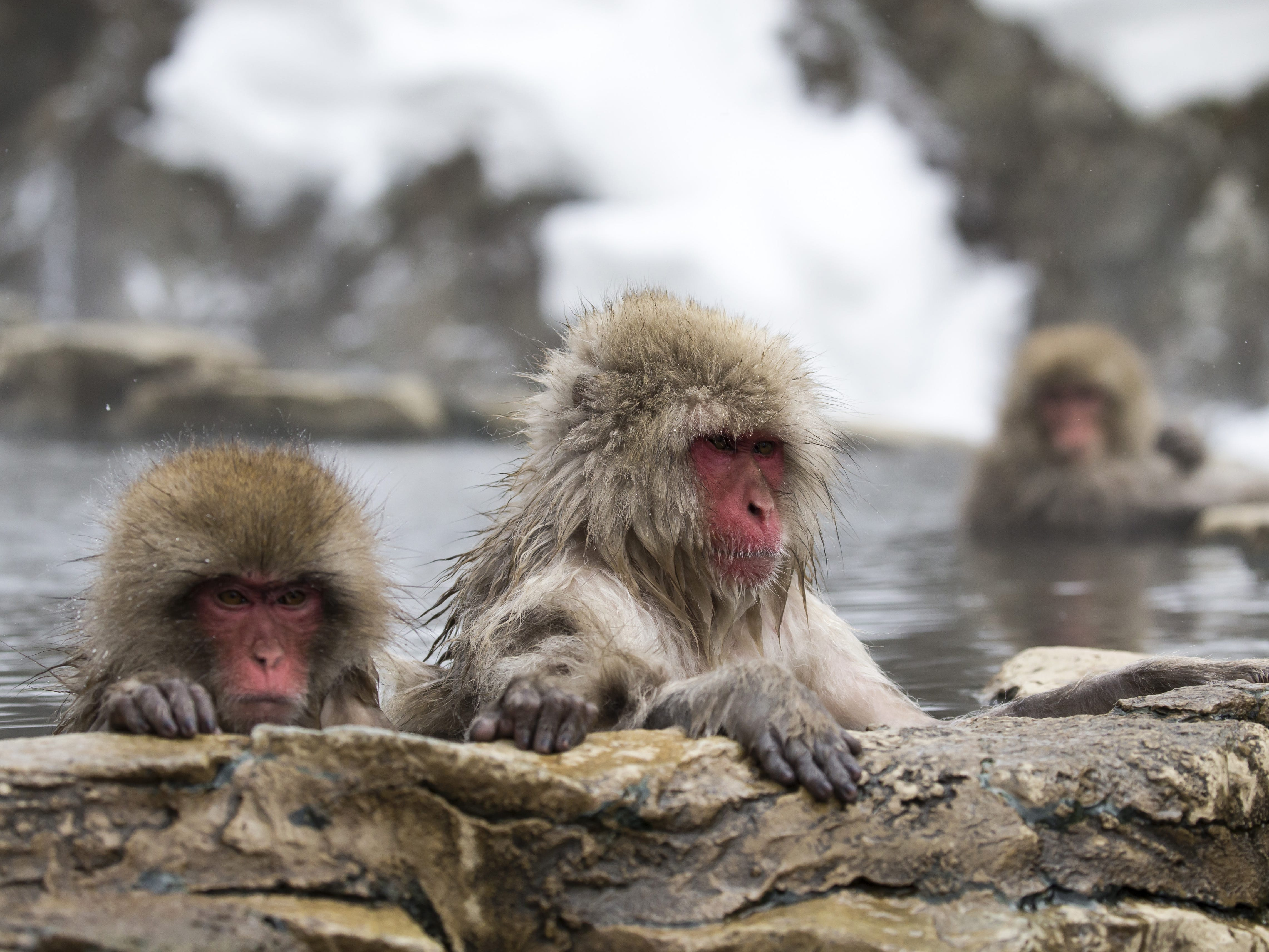 YAMANOUCHI, JAPAN - FEBRUARY 08: Macaque monkeys bathe in a hot spring at the Jigokudani Yaen-koen wild Macaque monkey park on February 8, 2019 in Yamanouchi, Japan. The wild Japanese macaques are known as snow monkeys, according to the park's official website. (Photo by Tomohiro Ohsumi/Getty Images) ORG XMIT: 775292339 ORIG FILE ID: 1128215722