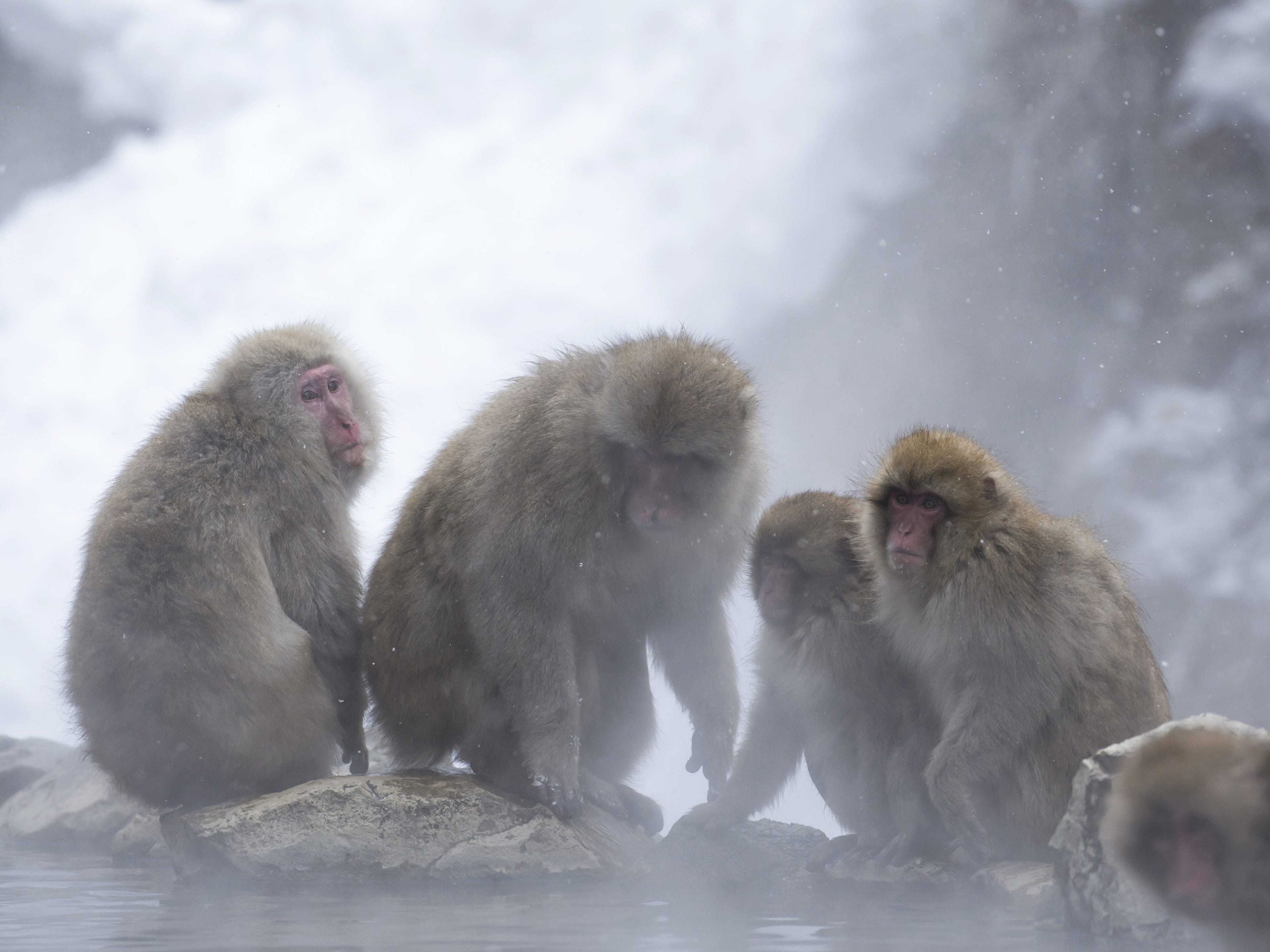 YAMANOUCHI, JAPAN - FEBRUARY 08: Macaque monkeys stand near a hot spring at the Jigokudani Yaen-koen wild Macaque monkey park on February 8, 2019 in Yamanouchi, Japan. The wild Japanese macaques are known as snow monkeys, according to the park's official website. (Photo by Tomohiro Ohsumi/Getty Images) ORG XMIT: 775292339 ORIG FILE ID: 1128215787