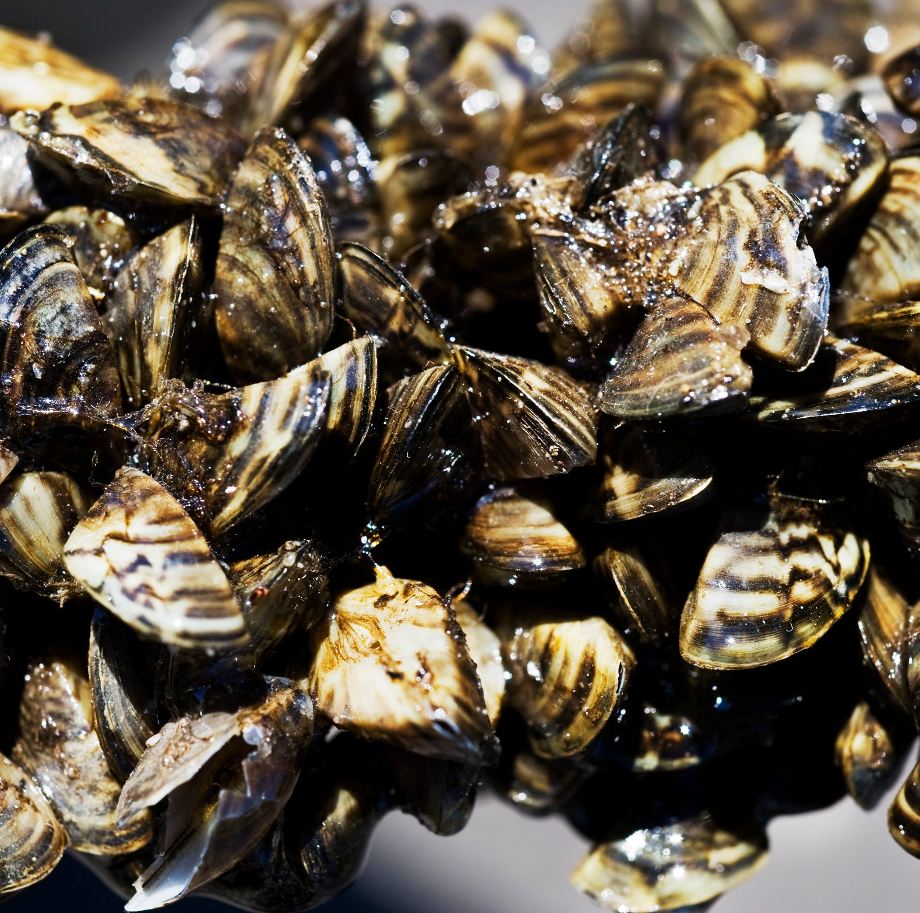 Zebra mussels invading Texas city pipes are making water smell like 'rotten trash'