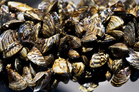 Zebra mussels are causing problems for Texas city water lines, as the invasive species has infested pipes. Residents in Austin, Texas, say their water smells like rotting meat.