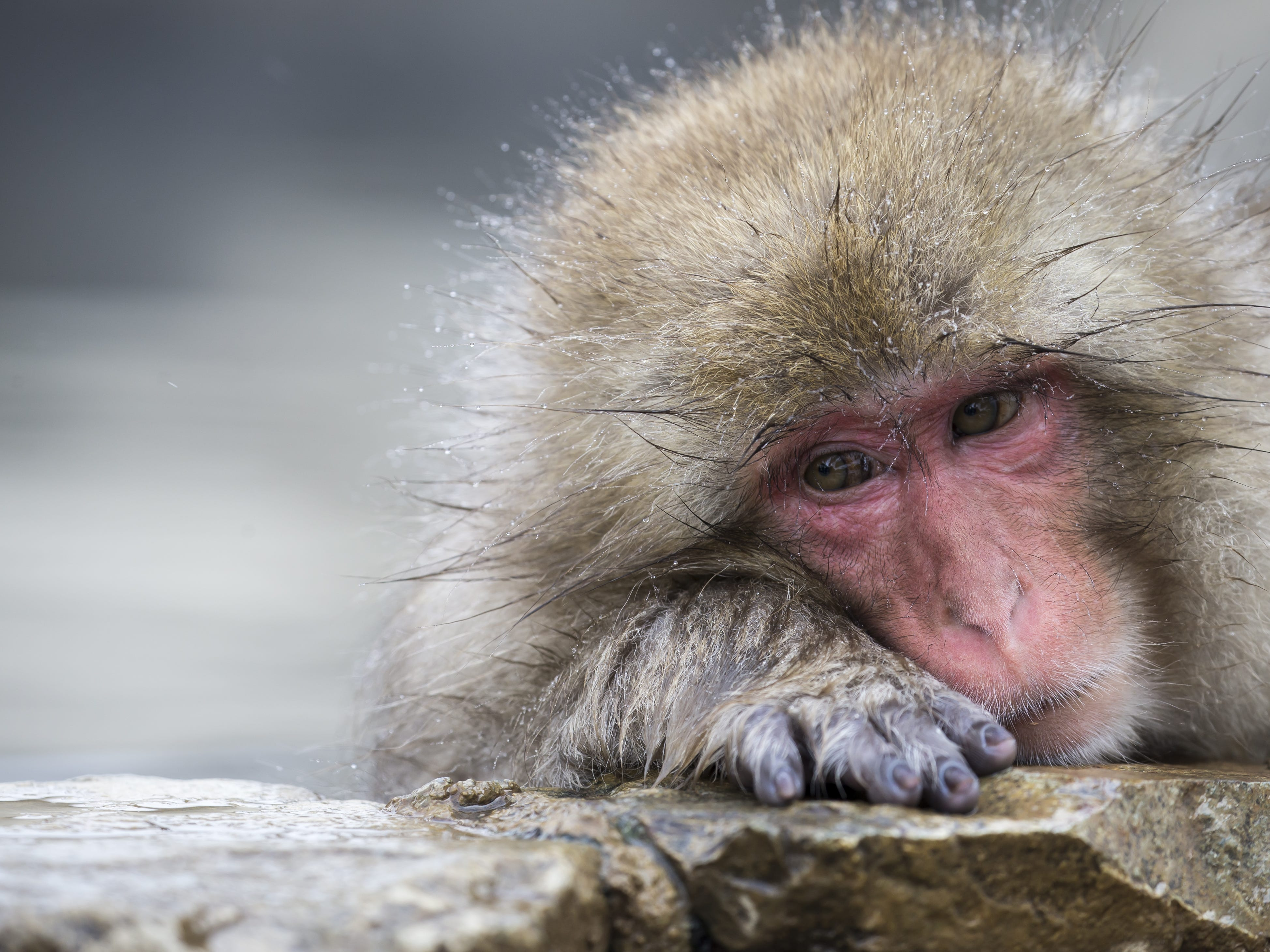 YAMANOUCHI, JAPAN - FEBRUARY 08: A Macaque monkey bathes in a hot spring at the Jigokudani Yaen-koen wild Macaque monkey park on February 8, 2019 in Yamanouchi, Japan. The wild Japanese macaques are known as snow monkeys, according to the park's official website. (Photo by Tomohiro Ohsumi/Getty Images) ORG XMIT: 775292339 ORIG FILE ID: 1128215824