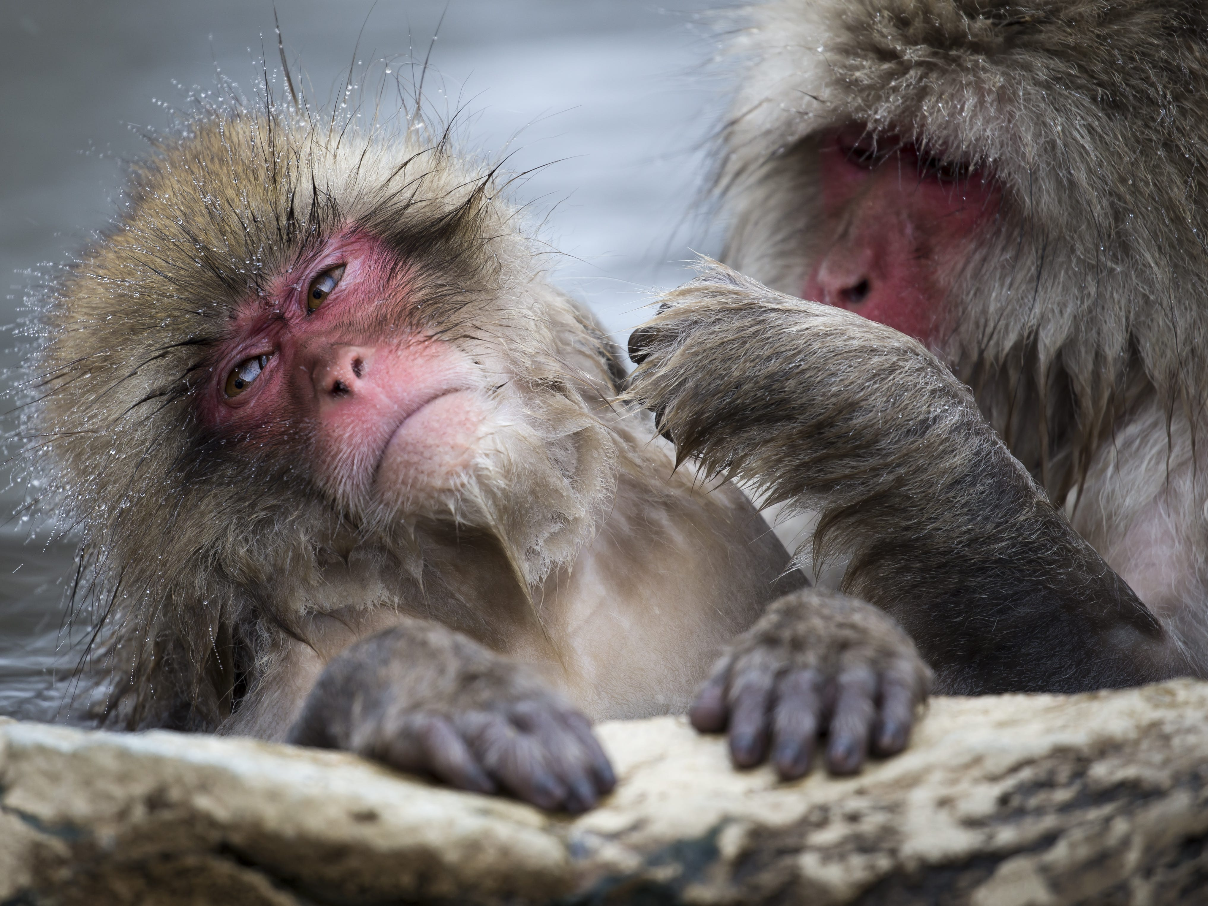 YAMANOUCHI, JAPAN - FEBRUARY 08: Macaque monkeys bathe in a hot spring at the Jigokudani Yaen-koen wild Macaque monkey park on February 8, 2019 in Yamanouchi, Japan. The wild Japanese macaques are known as snow monkeys, according to the park's official website. (Photo by Tomohiro Ohsumi/Getty Images) ORG XMIT: 775292339 ORIG FILE ID: 1128215693