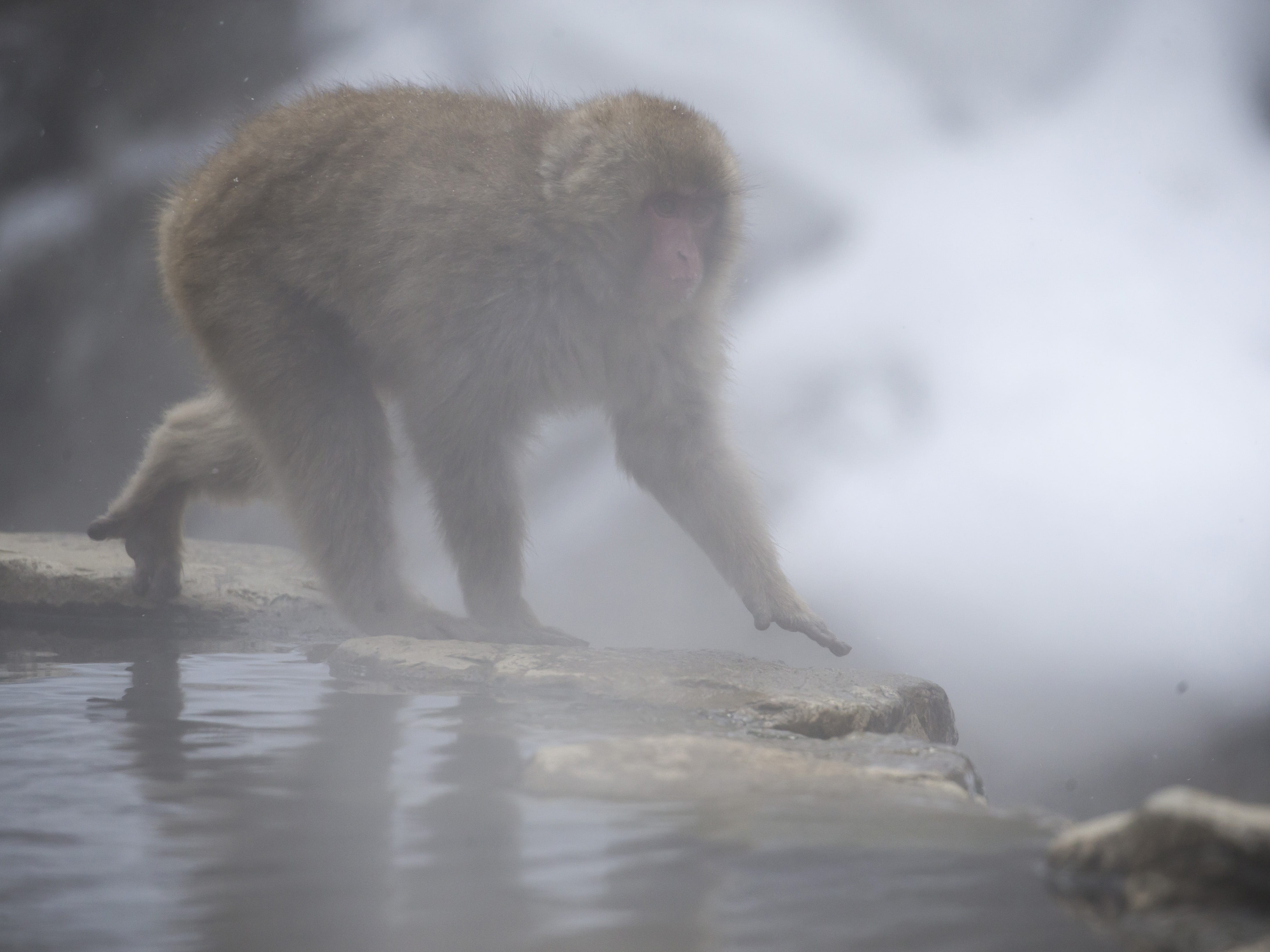 YAMANOUCHI, JAPAN - FEBRUARY 08: A Macaque monkey  walks near a hot spring at the Jigokudani Yaen-koen wild Macaque monkey park on February 8, 2019 in Yamanouchi, Japan. The wild Japanese macaques are known as snow monkeys, according to the park's official website. (Photo by Tomohiro Ohsumi/Getty Images) ORG XMIT: 775292339 ORIG FILE ID: 1128215836