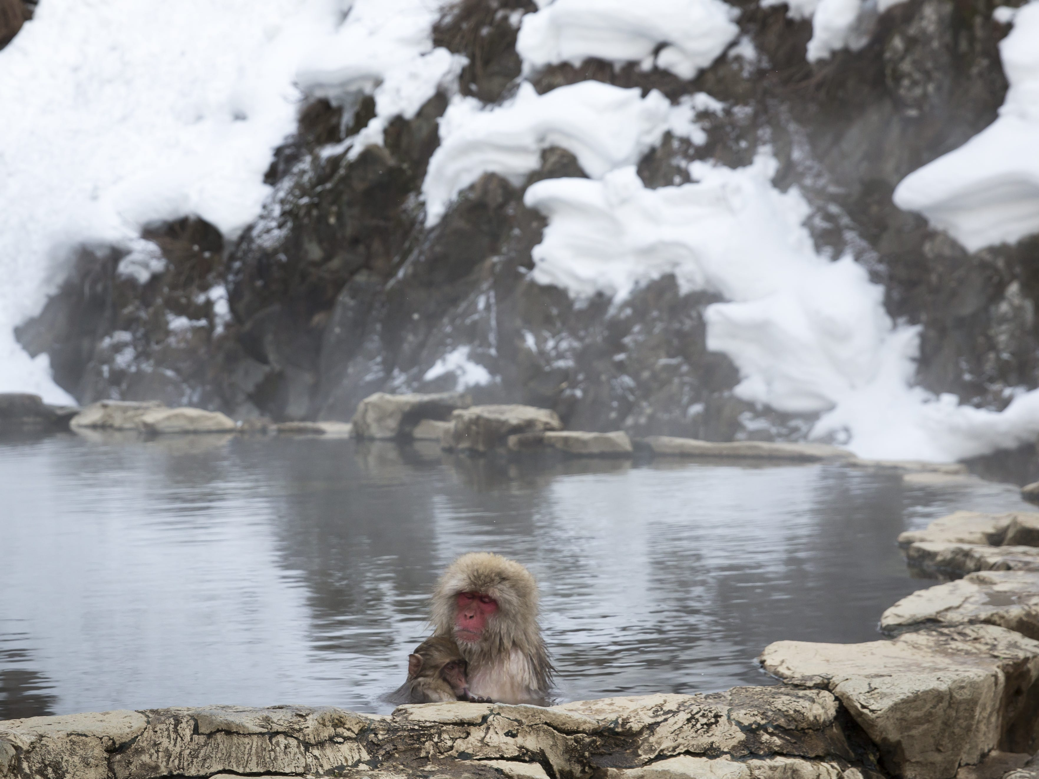 YAMANOUCHI, JAPAN - FEBRUARY 08: Macaque monkeys bathe in a hot spring at the Jigokudani Yaen-koen wild Macaque monkey park on February 8, 2019 in Yamanouchi, Japan. The wild Japanese macaques are known as snow monkeys, according to the park's official website. (Photo by Tomohiro Ohsumi/Getty Images) ORG XMIT: 775292339 ORIG FILE ID: 1128215788