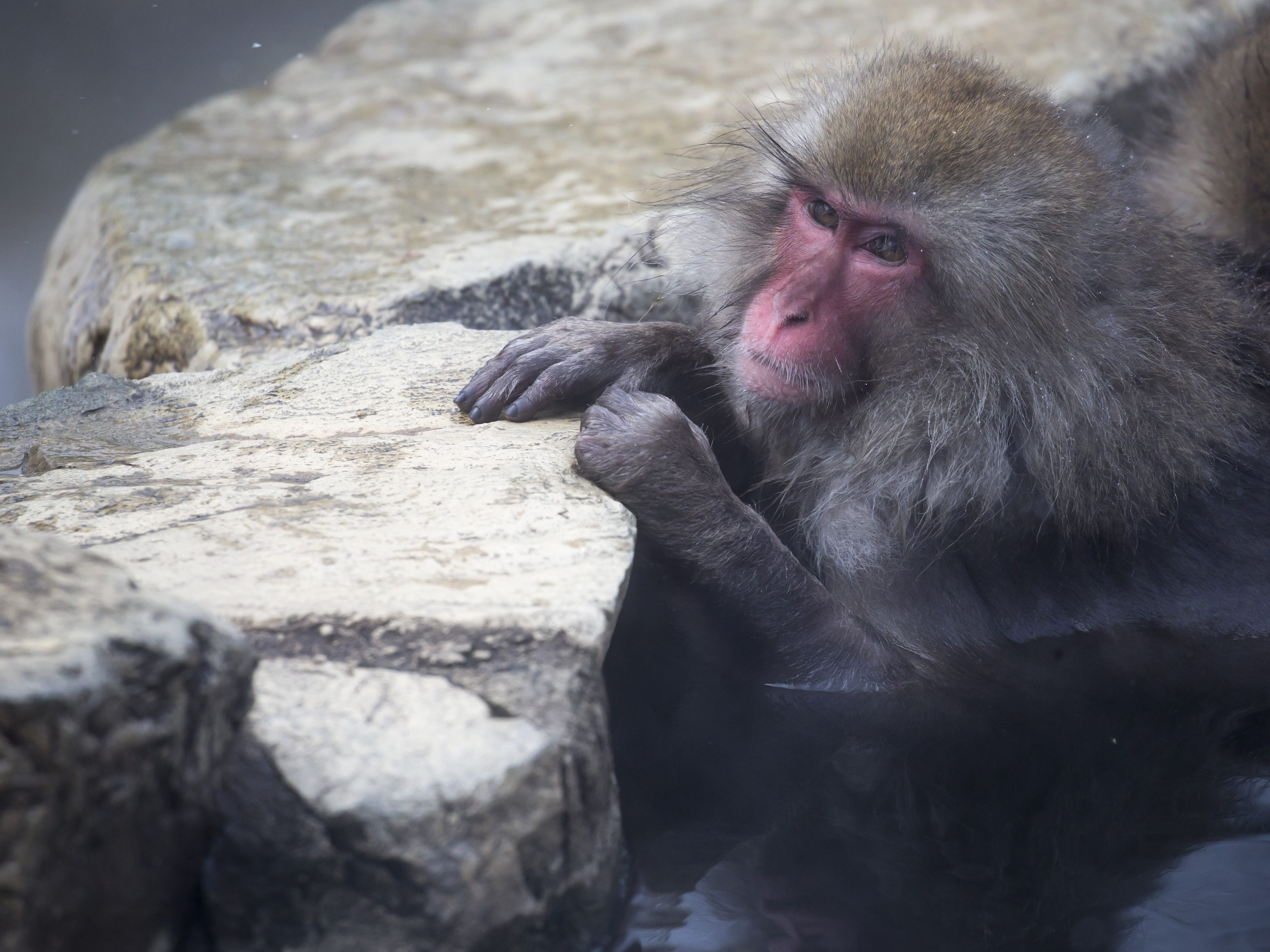 YAMANOUCHI, JAPAN - FEBRUARY 08: A Macaque monkey bathes in a hot spring at the Jigokudani Yaen-koen wild Macaque monkey park on February 8, 2019 in Yamanouchi, Japan. The wild Japanese macaques are known as snow monkeys, according to the park's official website. (Photo by Tomohiro Ohsumi/Getty Images) ORG XMIT: 775292339 ORIG FILE ID: 1128214374