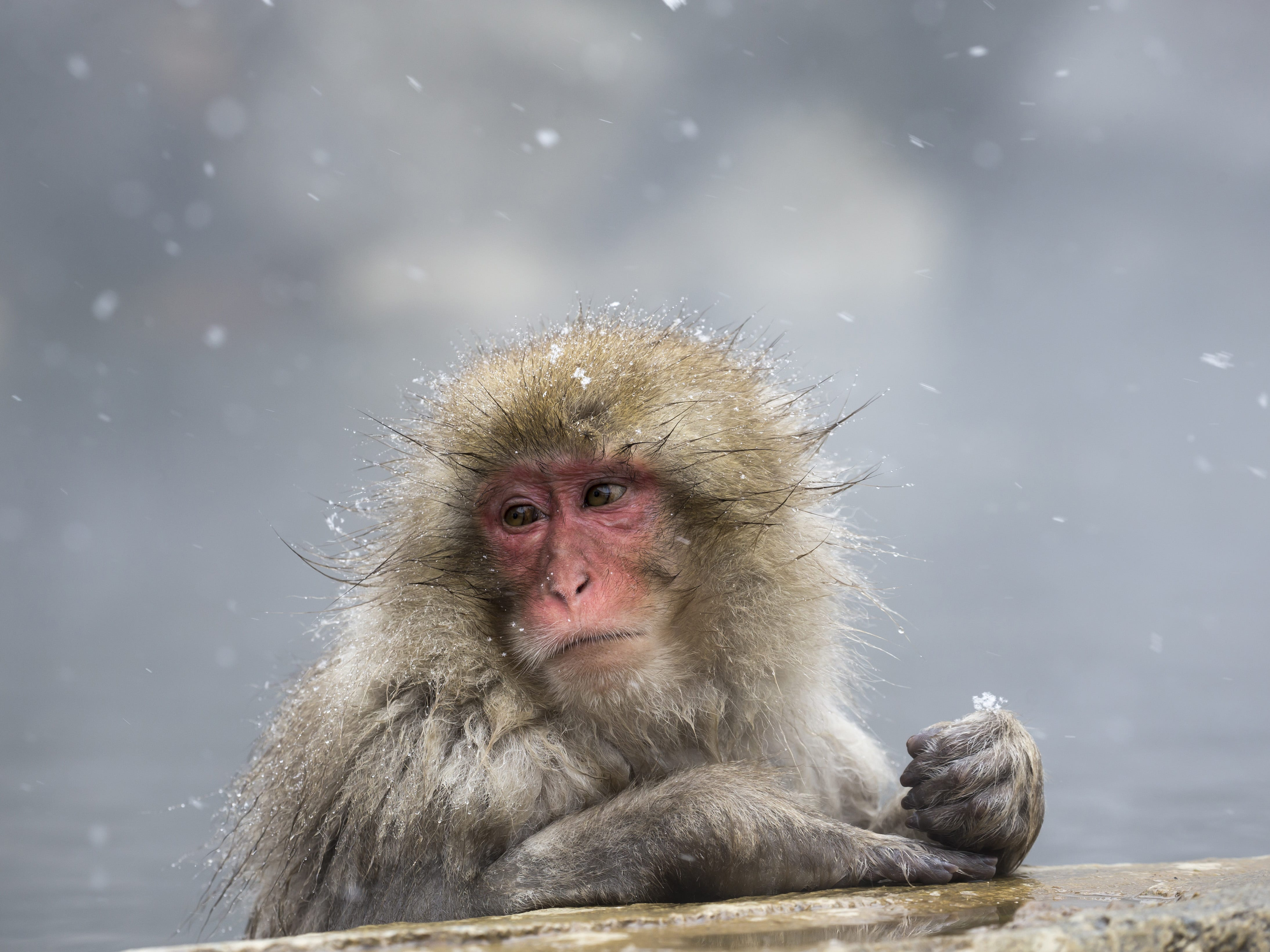 A Macaque monkey bathes in a hot spring at the Jigokudani Yaen-koen wild Macaque monkey park on Feb. 8, 2019 in Yamanouchi, Japan.