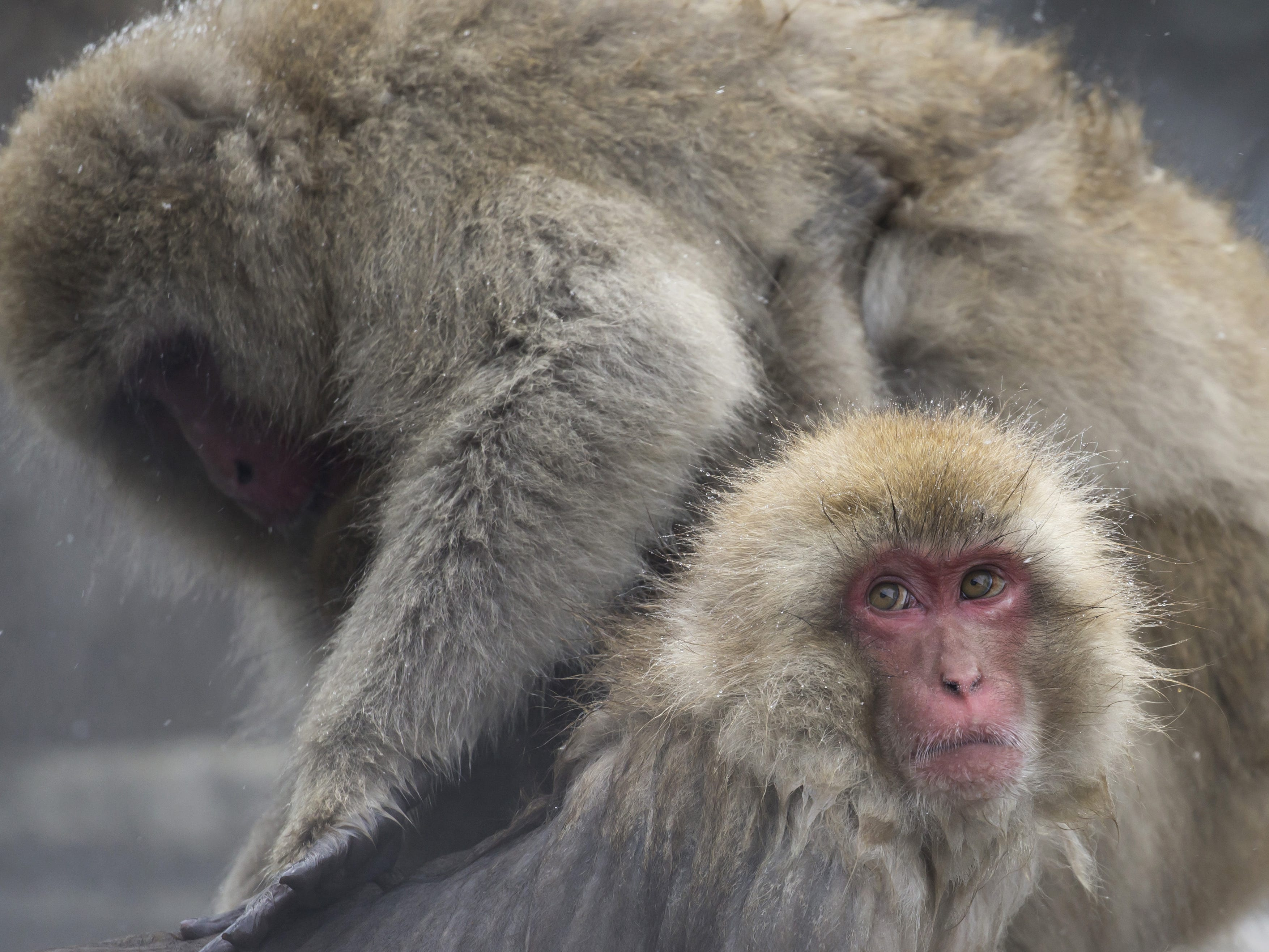 YAMANOUCHI, JAPAN - FEBRUARY 08: Macaque monkeys bathe in a hot spring at the Jigokudani Yaen-koen wild Macaque monkey park on February 8, 2019 in Yamanouchi, Japan. The wild Japanese macaques are known as snow monkeys, according to the park's official website. (Photo by Tomohiro Ohsumi/Getty Images) ORG XMIT: 775292339 ORIG FILE ID: 1128215908
