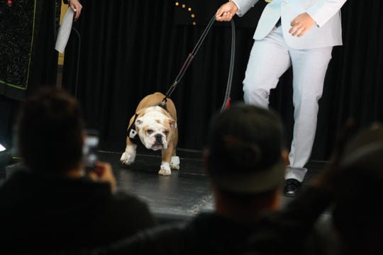 'Cuse, a bulldog owned by Binghamton High School principal Kevin Richman, modeled a tuxedo at the school's prom dress fashion show Friday evening.