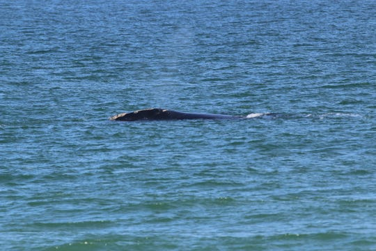 A right whale and her calf were spotted off Melbourne Beach Friday.