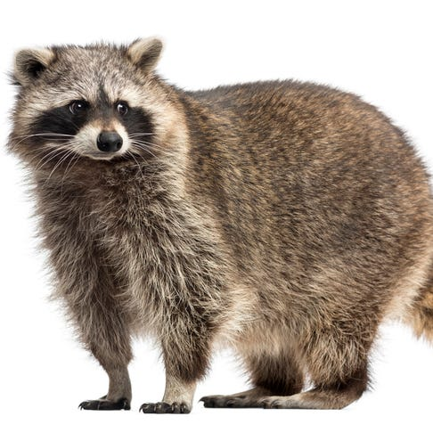 A raccoon stirs up household drama