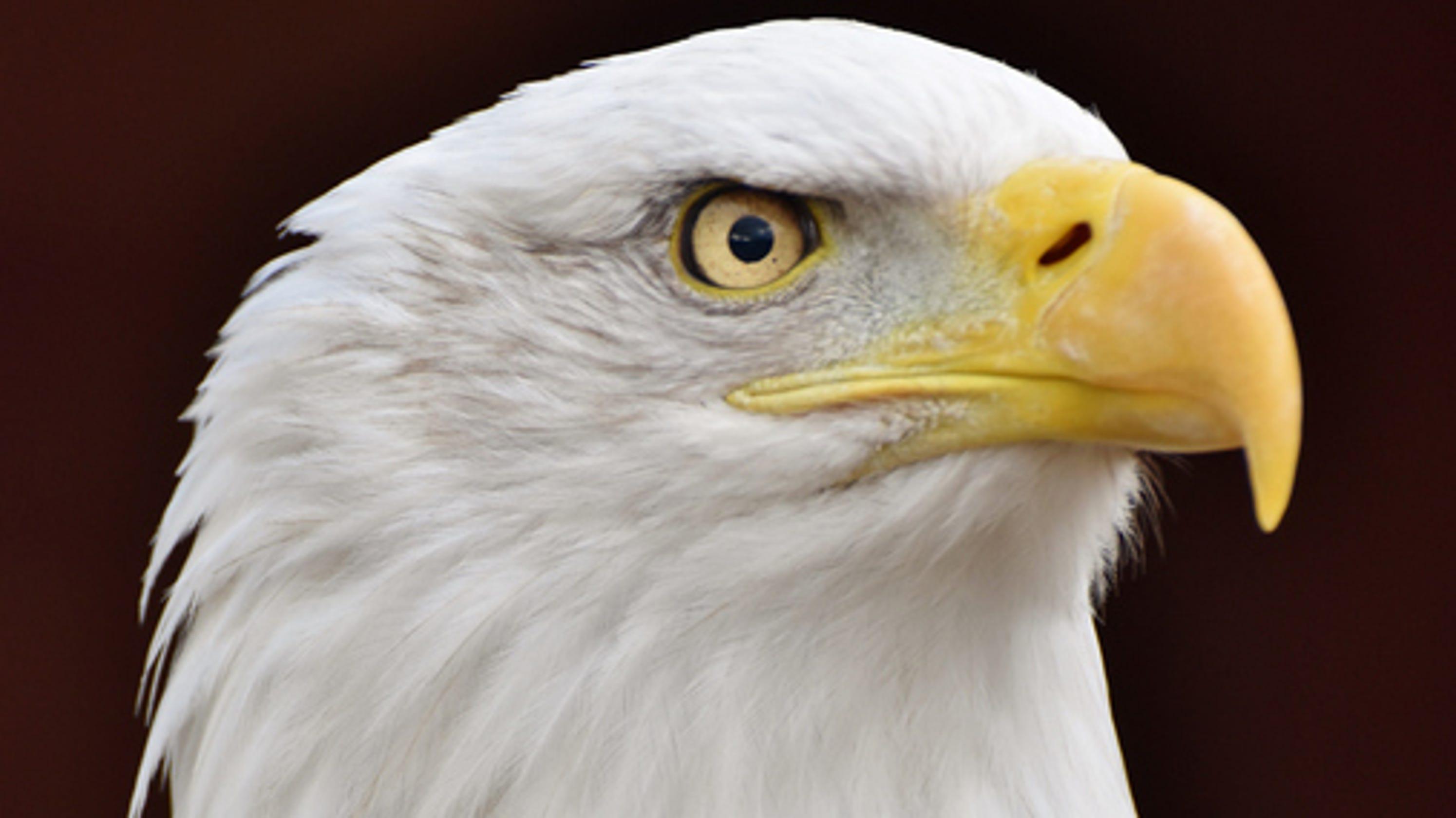 Rescuers Help Bald Eagle Stuck On Michigan Ice Shelf