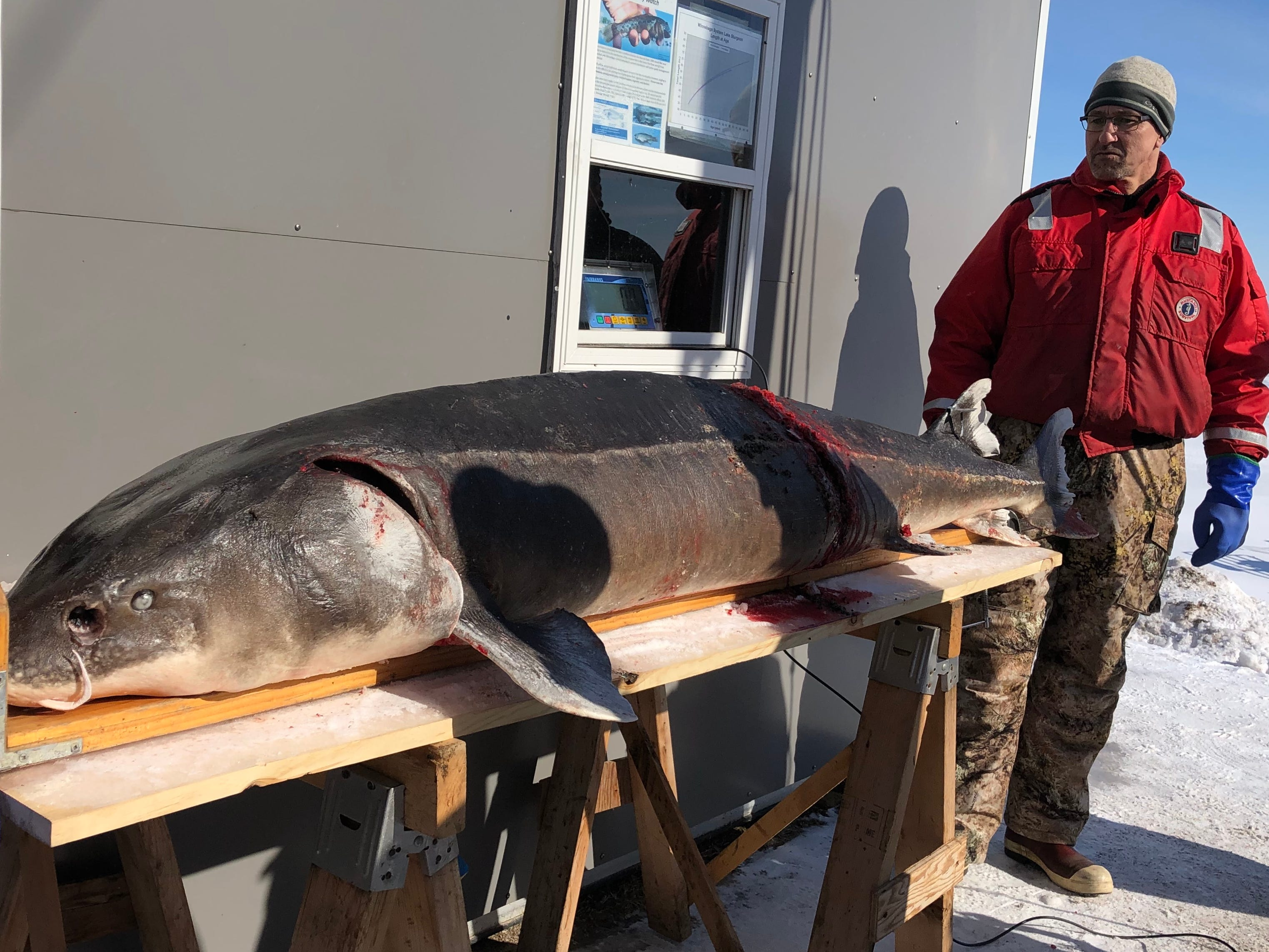 A Department of Natural Resources fisheries technician looks at a 171-pound sturgeon Saturday morning. The fish is more than 15 pounds heavier than last season's biggest sturgeon.