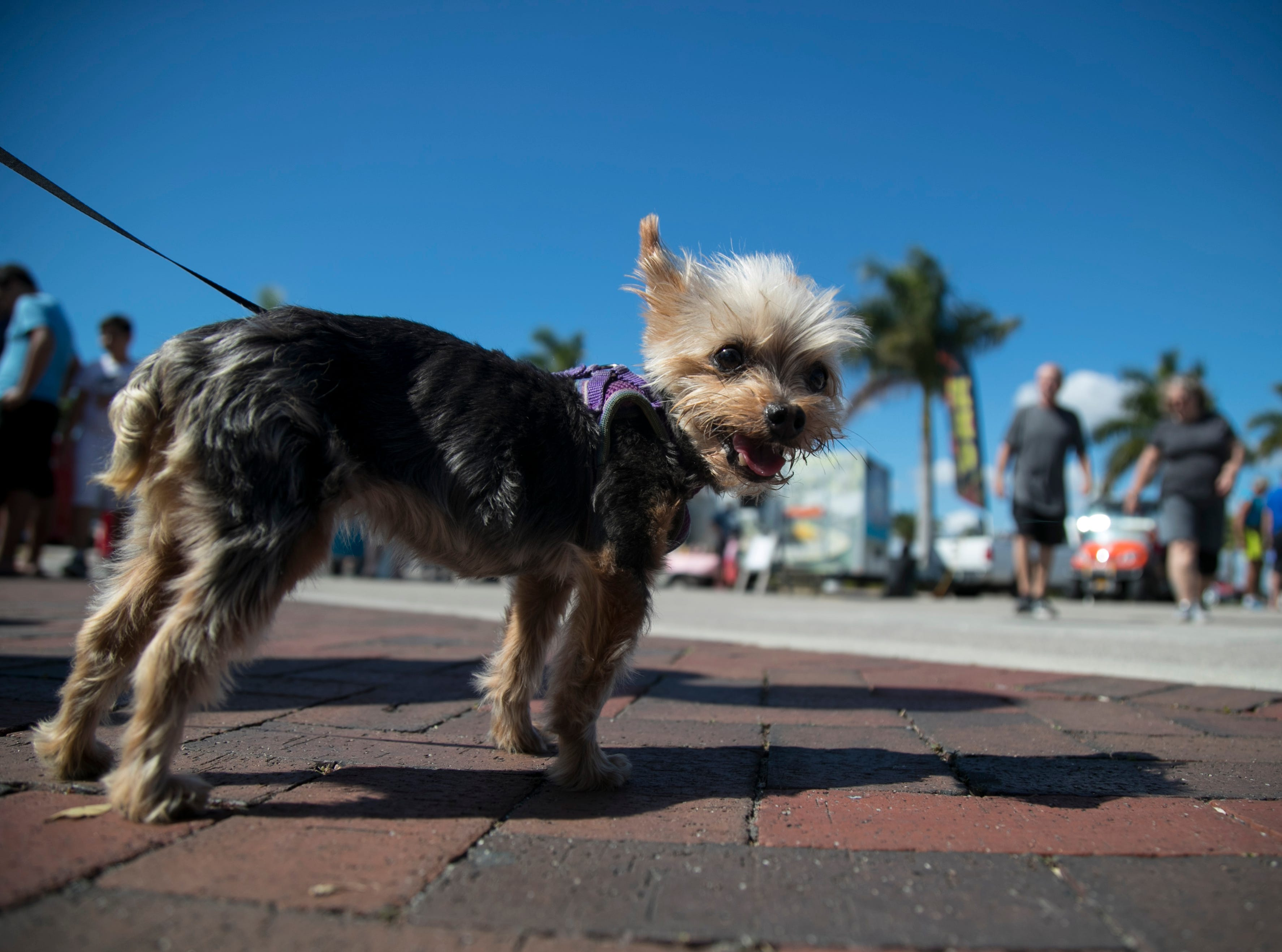 Veve, a teacup yorkshire terrier, was one of many dogs at the Mutt Strutt in downtown Fort Myers on Saturday, Feb. 9, 2019.