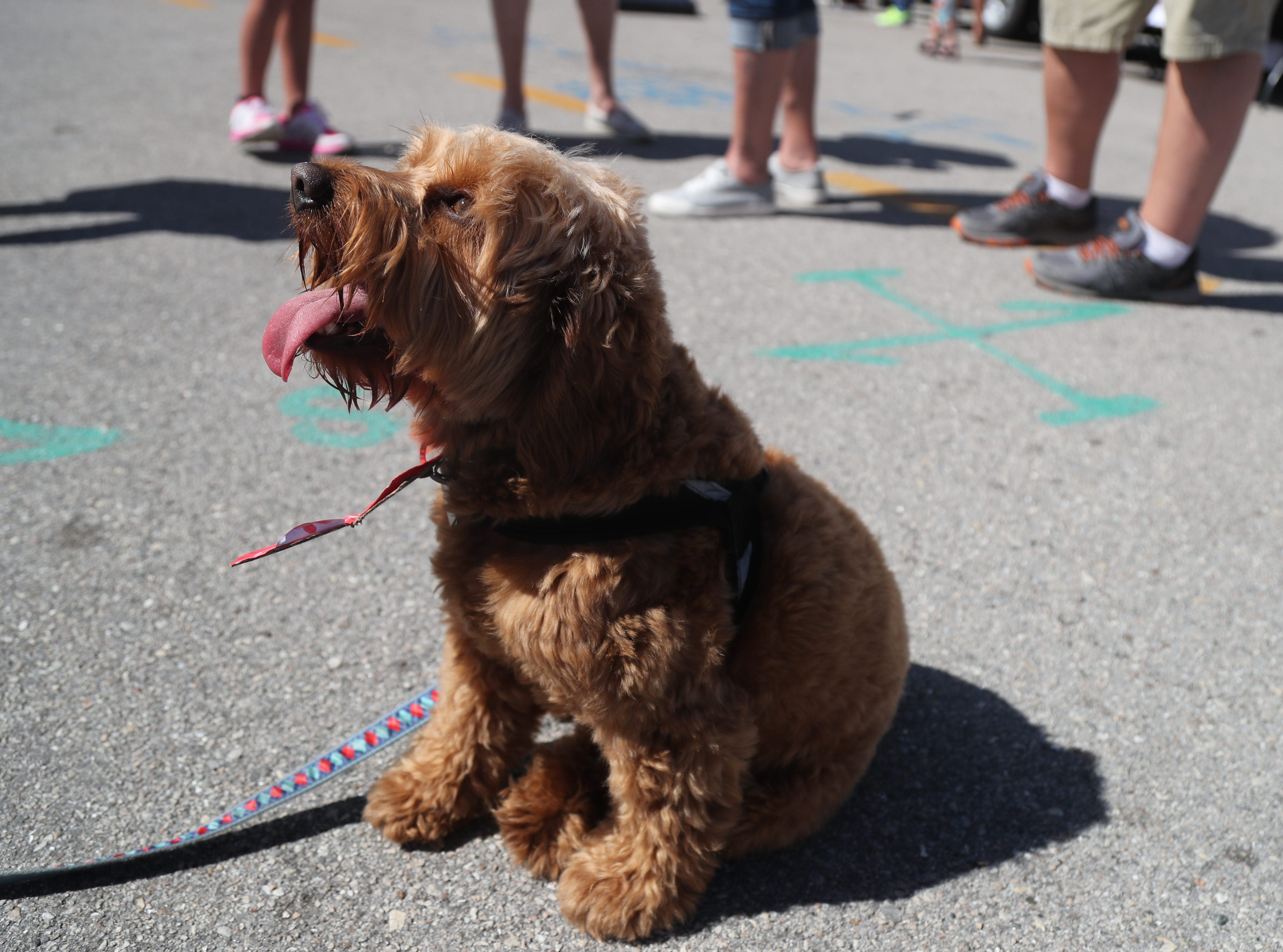 Dogs and their owners came to downtown Fort Myers on Saturday, Feb. 9, 2019, for the Mutt Strutt. The event included wiener dog races and a pet parade.