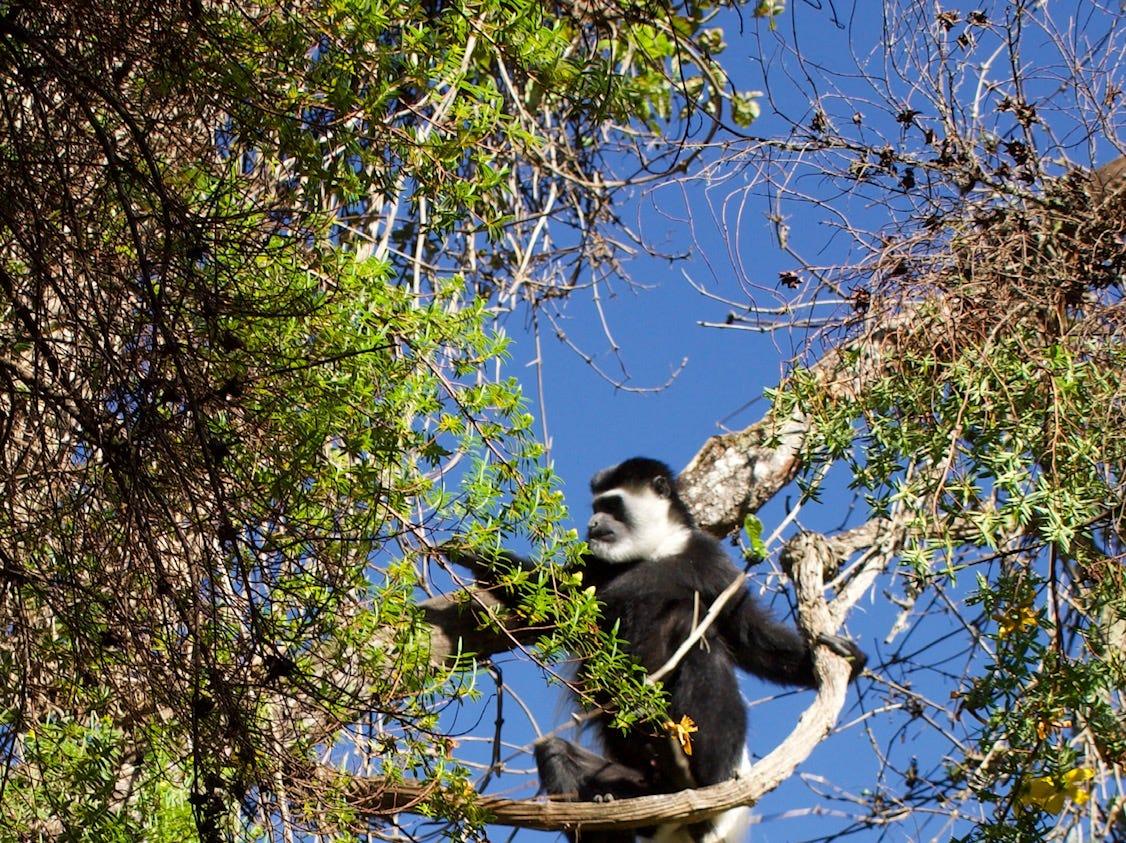 Monkey on  Mount Kilimanjaro, Tanzania