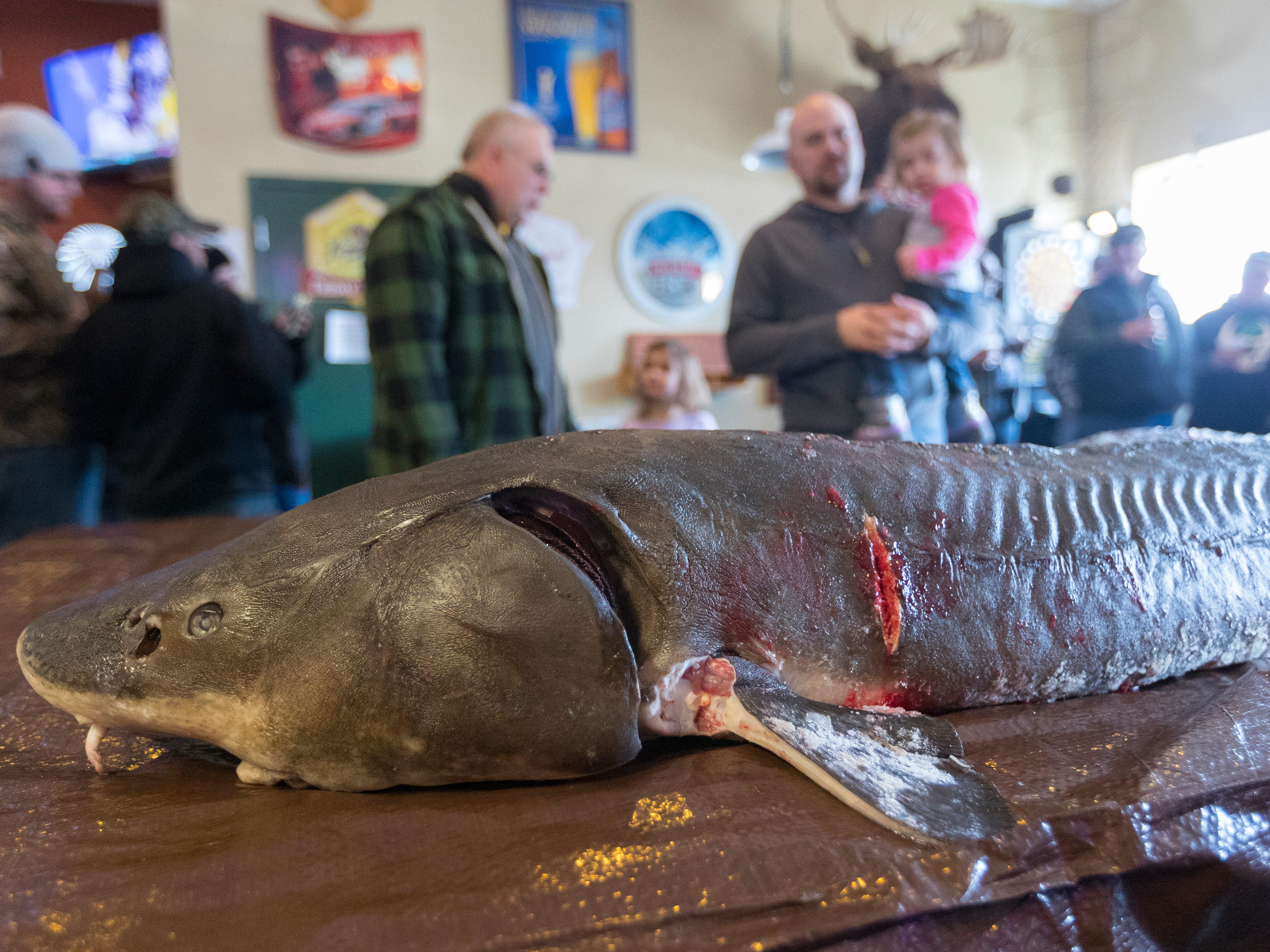 Sturgeon are displayed on a pool table during the opening day of sturgeon spearing Saturday at Critter's in Winneconne, Wis.