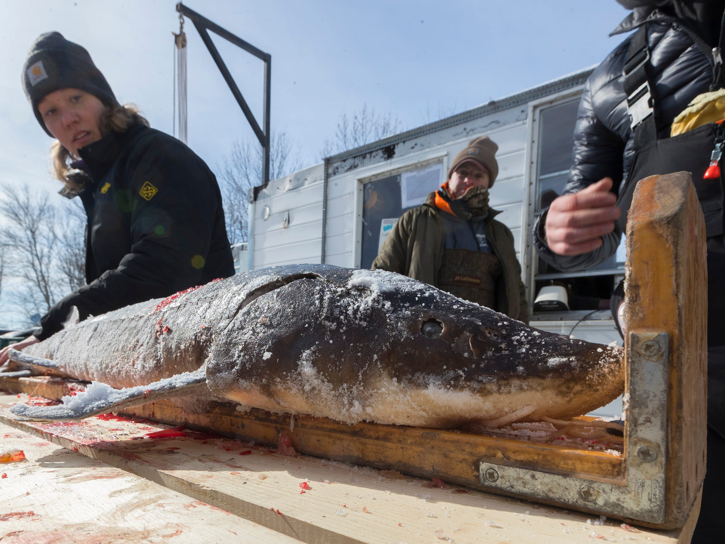 Sturgeon are registered and samples  taken during the opening day of sturgeon spearing Saturday at Critter's in Winneconne, Wis.